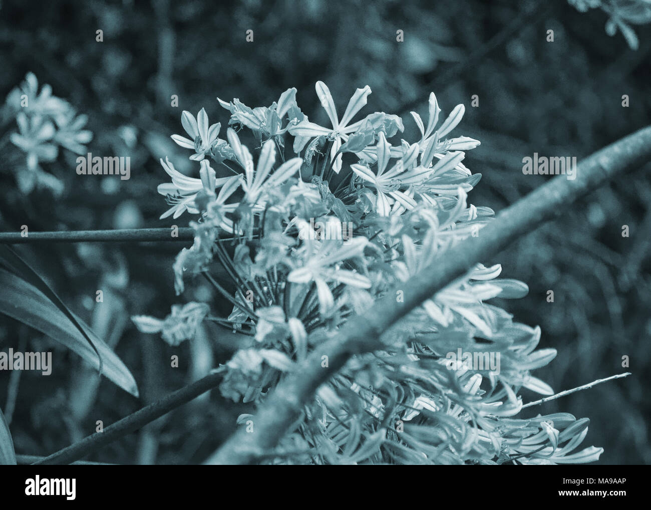 frigid bloom - Stock Image