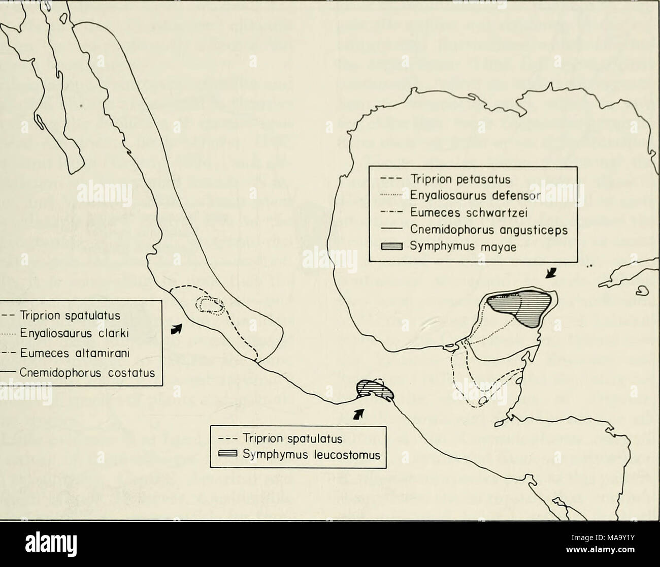. An ecogeographic analysis of the herpetofauna of the Yucatan Peninsula . Triprion spatulatus Enyaliosaurus clarki Eumeces altamirani Cnemidophorus costatus Fig. 21.—The Yucatan-West Mexico pattern of distribution. Extra-peninsular distributions are rough approximations. limits of this mesophilic genus. Thus, two mesic-adapted species are confined to the north end of the peninsula, but have their closest relatives in wetter areas to the south. An additional spe- cies, presumably mesophilic, existed at the north end of the peninsula until sometime in the Pleistocene. The foregoing distribution - Stock Image