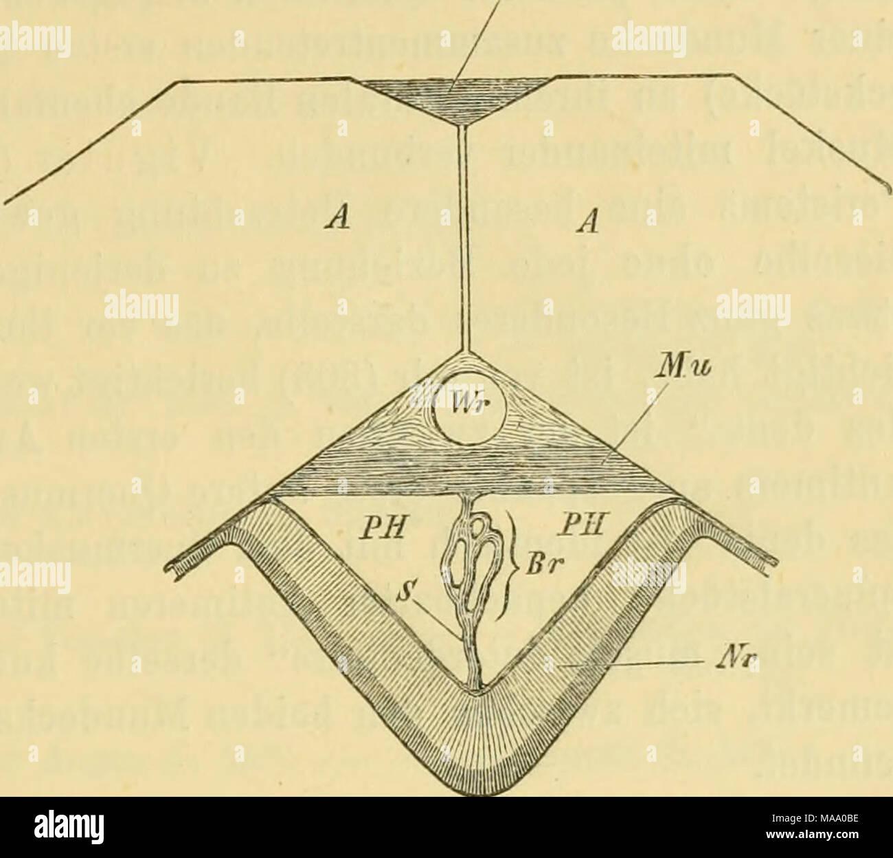 Echinodermen (Stachelhäuter) . a. Jedes Ambulacral- stück ist mit ...