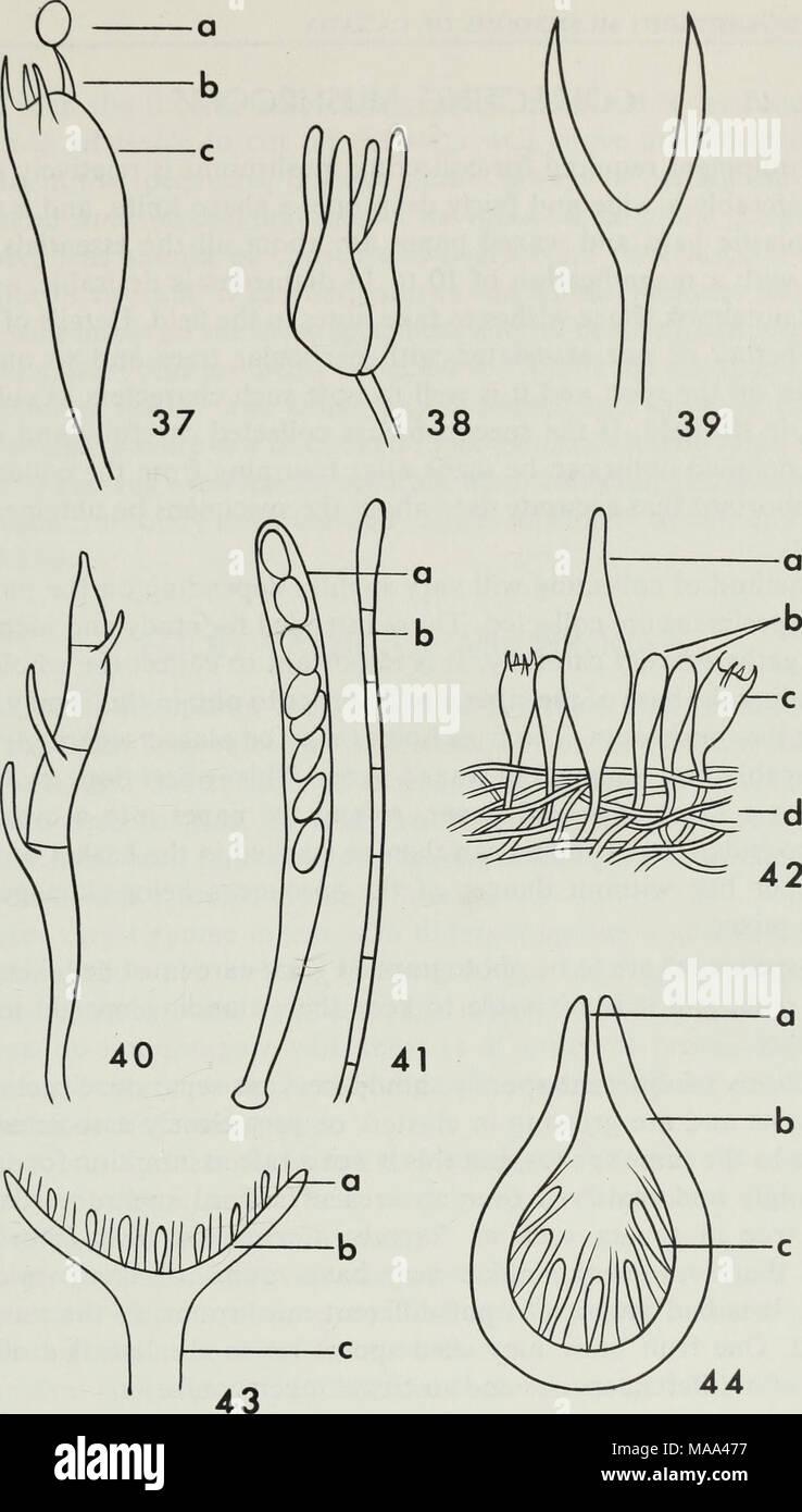 . Edible and poisonous mushrooms of Canada . Figures 37-40. Semidiagrammatic drawings illustrating various types of basidia: 37, basidium of Agaricaceae (a spore, b sterigma, c basidium); 38, basidium of Tremellaceae with longi- tudinal septa; 39, deeply forked basidium of Dacrymycetaceae; 40, basidium of Auricularia- ceae with transverse septa. Figure 41. Semidiagrammatic drawing of: a ascus containing ascospores, b paraphysis. Figure 42. Diagram illustrating a small section of the lamella of a mushroom: a cystidium, b paraphyses, c basidium, d trama. Figure 43. Diagram of a transverse sectio - Stock Image