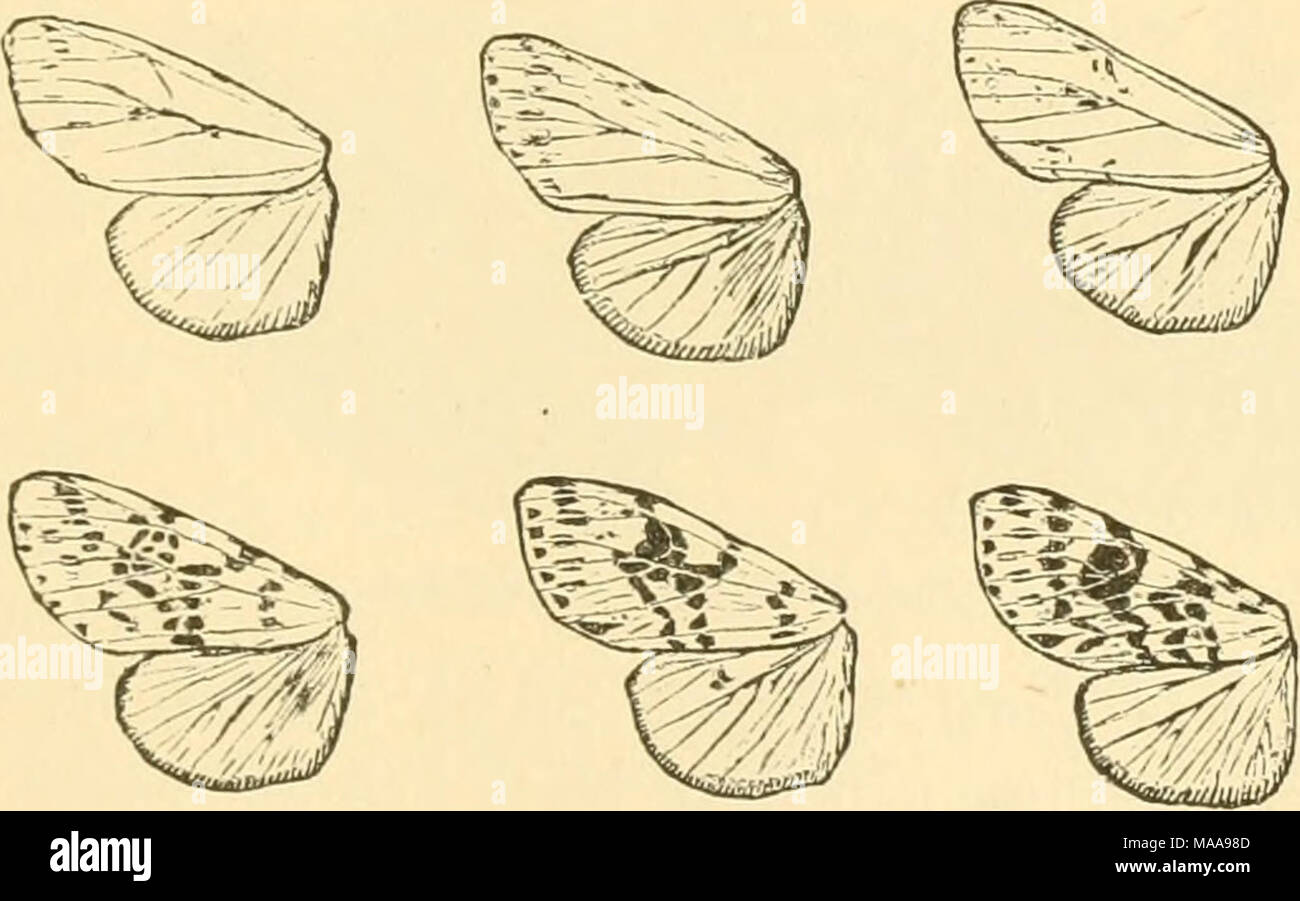 . Economic entomology for the farmer and fruit-grower . Hyphantria cunea: variations in the markings of the wings. spring. A large variety of trees and shrubs is attacked by this insect, and where abundant it becomes a great nuisance. Usu- - Stock Image