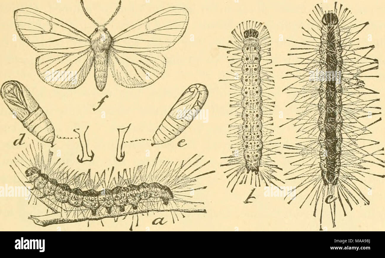 """. Economic entomology for the farmer and fruit-grower . The fall web-worm, Hyphantria cunea.—a, b, c, varieties of larva ; d, e, pupa ; /"""", moth of the normal white form. noticeable, whence the name """" fall"""" web-worm, to distinguish it from the common orchard tent-caterpillar, which appears only in Fig. 289. - Stock Image"""