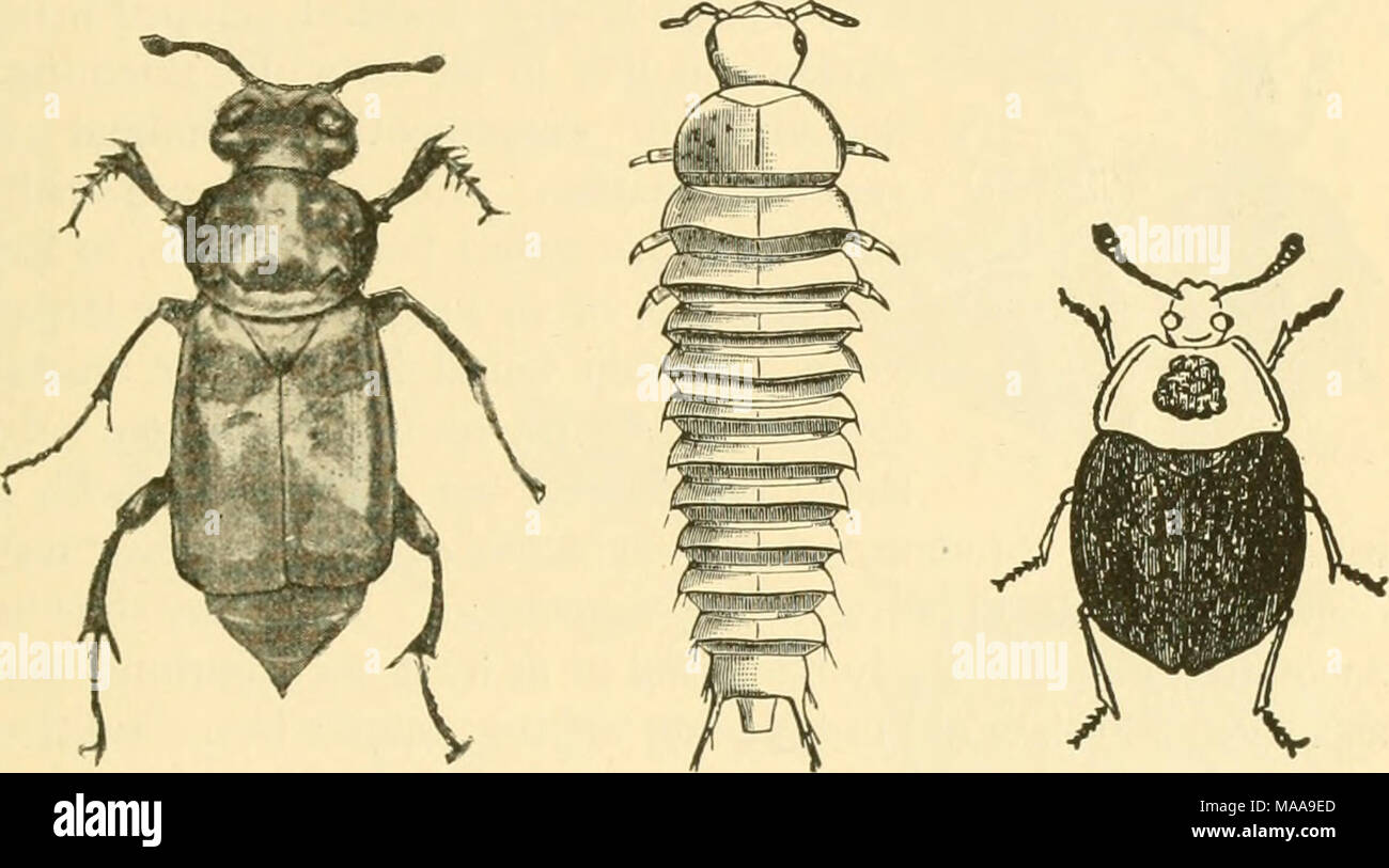 Page 3 Carrion Beetles High Resolution Stock Photography And