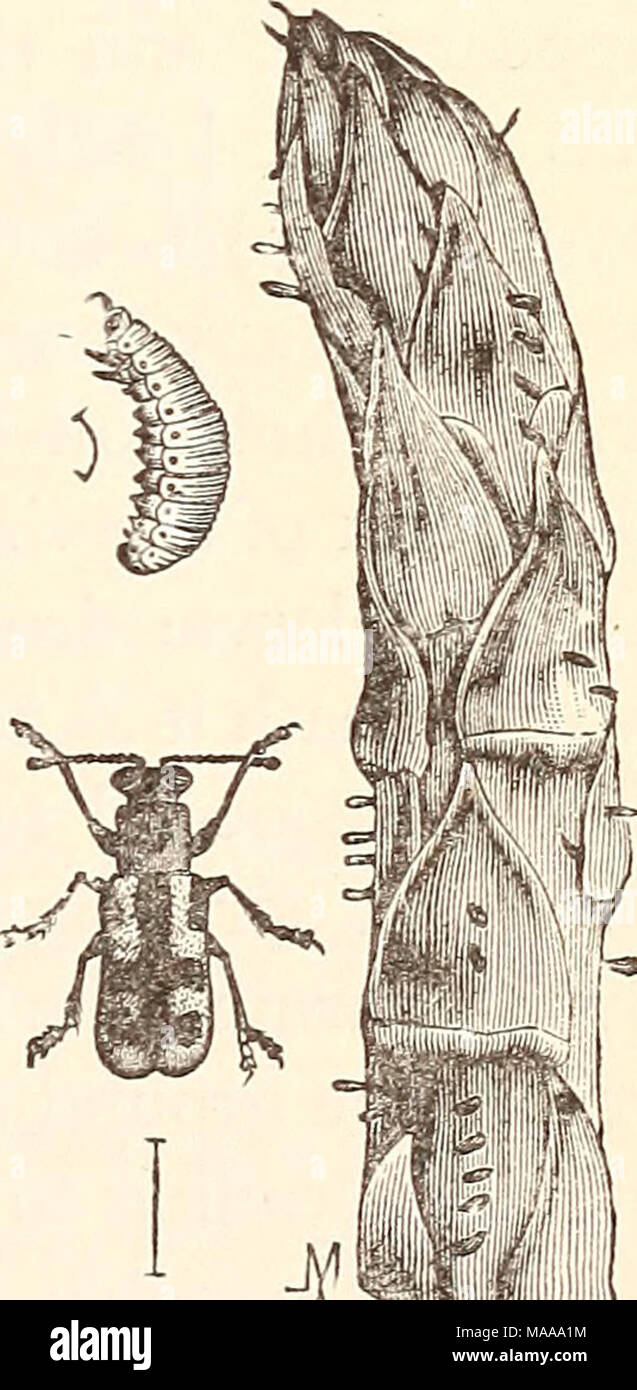 . Economic entomology for the farmer.. . Asparagus-beetle, Crio- ceris asparagi: larva, adult, and shoot with eggs. insects will multiply be checked, because spraying the feathery leaves is impracticable, but after the larvae - Stock Image