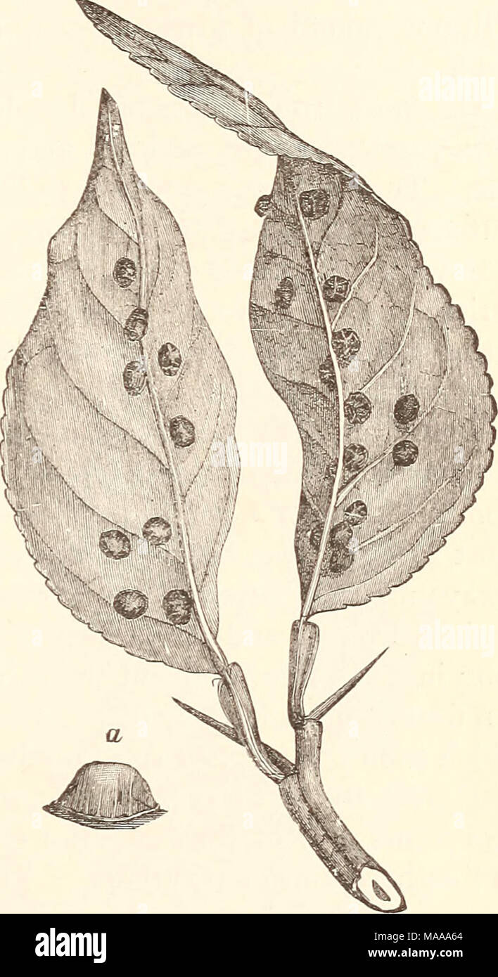 . Economic entomology for the farmer.. . Lecanium hemisphericum, on orange-leaves, nat- ural size ; a, female scale, enlarged. - Stock Image