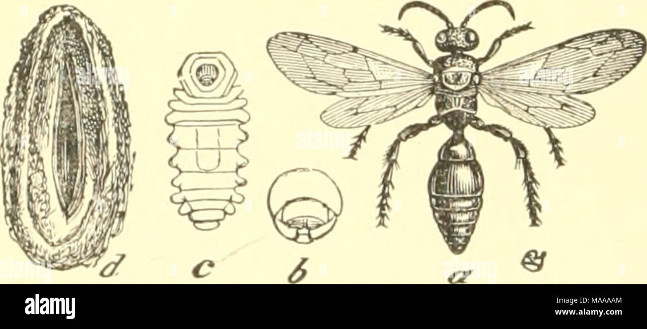 . Economic entomology for the farmer and the fruit grower, and for use as a text-book in agricultural schools and colleges; . White-grub parasite, Tiphia inutnata.—a, inia go; b, head of larva; c, larva; d, cocoon. - Stock Image