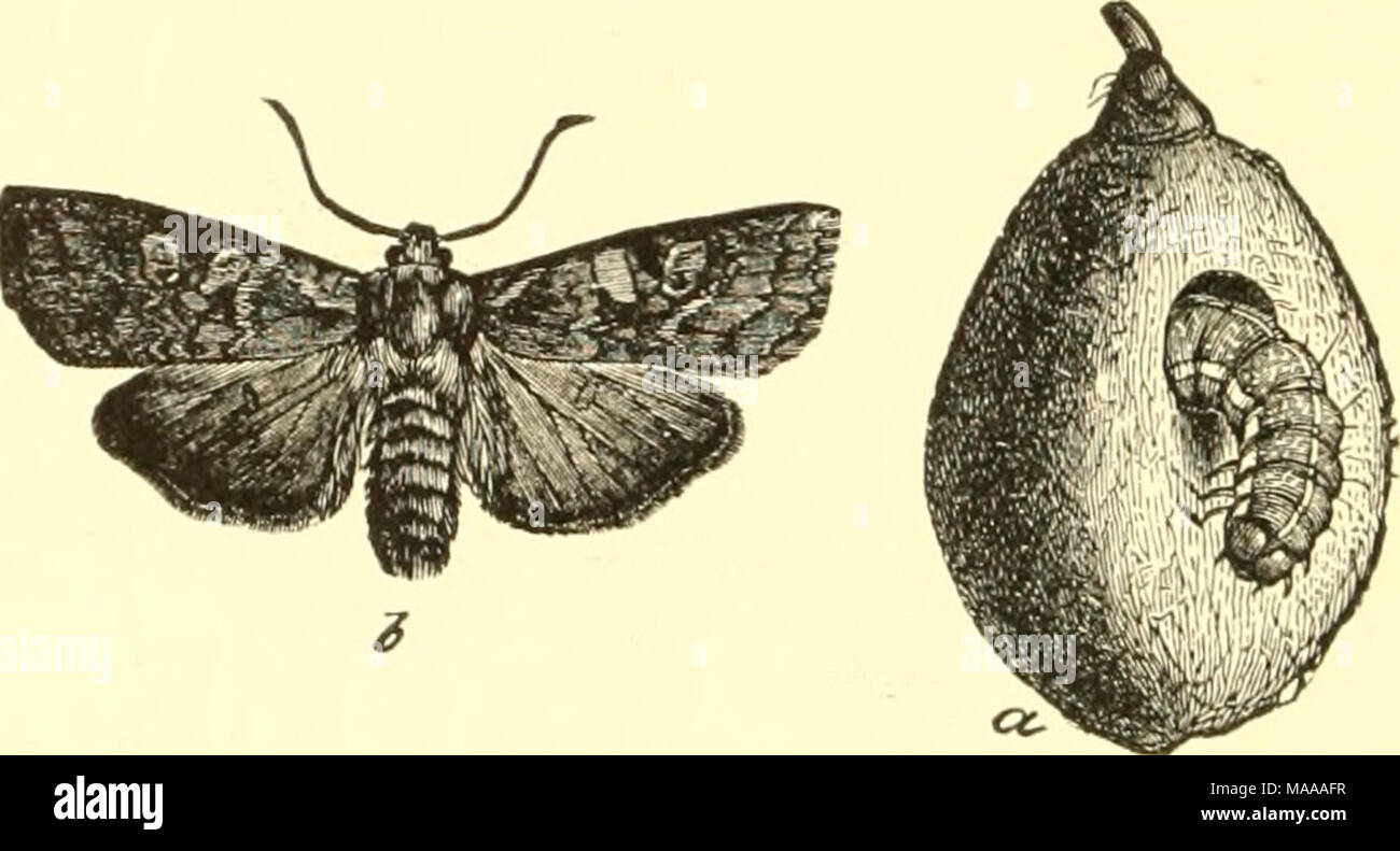 . Economic entomology for the farmer and the fruit grower, and for use as a text-book in agricultural schools and colleges; . Xylina antennala: a, its larva in peach ; b, adult moth. often found in maple groves while sugaring is going on. Some- times sap-pails are found in the morning with the surface of the liquid completely covered with these insects, which, taken as a whole, are northern, though some extend south and southwest, and even to the Pacific coast. One of the most common is the A', antcnnata, the caterpillar of which has been described by Riley as boring into fruits ; but it is a  - Stock Image