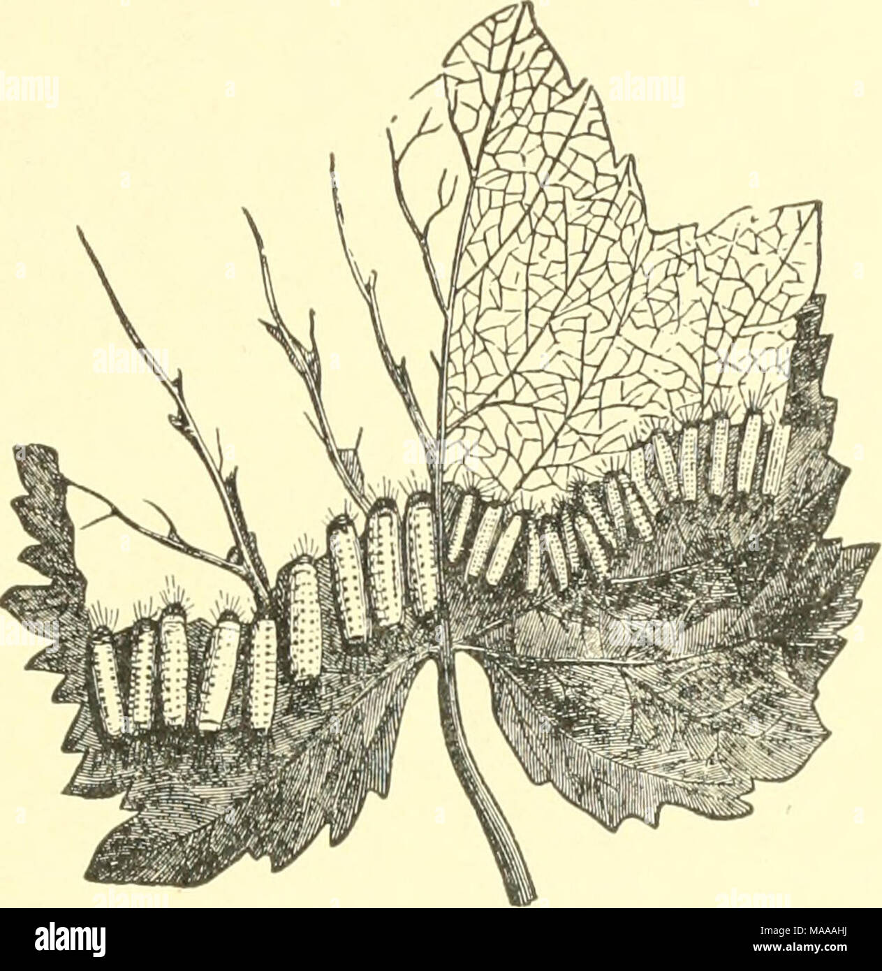 """. Economic entomology for the farmer and the fruit grower, and for use as a text-book in agricultural schools and colleges; . Grape-leaf on which hirvit- of Hat 1 hina atnericaua are feeding. We now enter into a series of species the caterpillars of which are known as """" woolly bears,"""" from the fact that they are all clothed with long hair. In some cases this hair is so dense that the body of the caterpillar itself cannot be seen at all, and all these are of the Ardiid series. They spin a small quantity of silk only, and use the hair with which they are clothed in con- junction with i - Stock Image"""