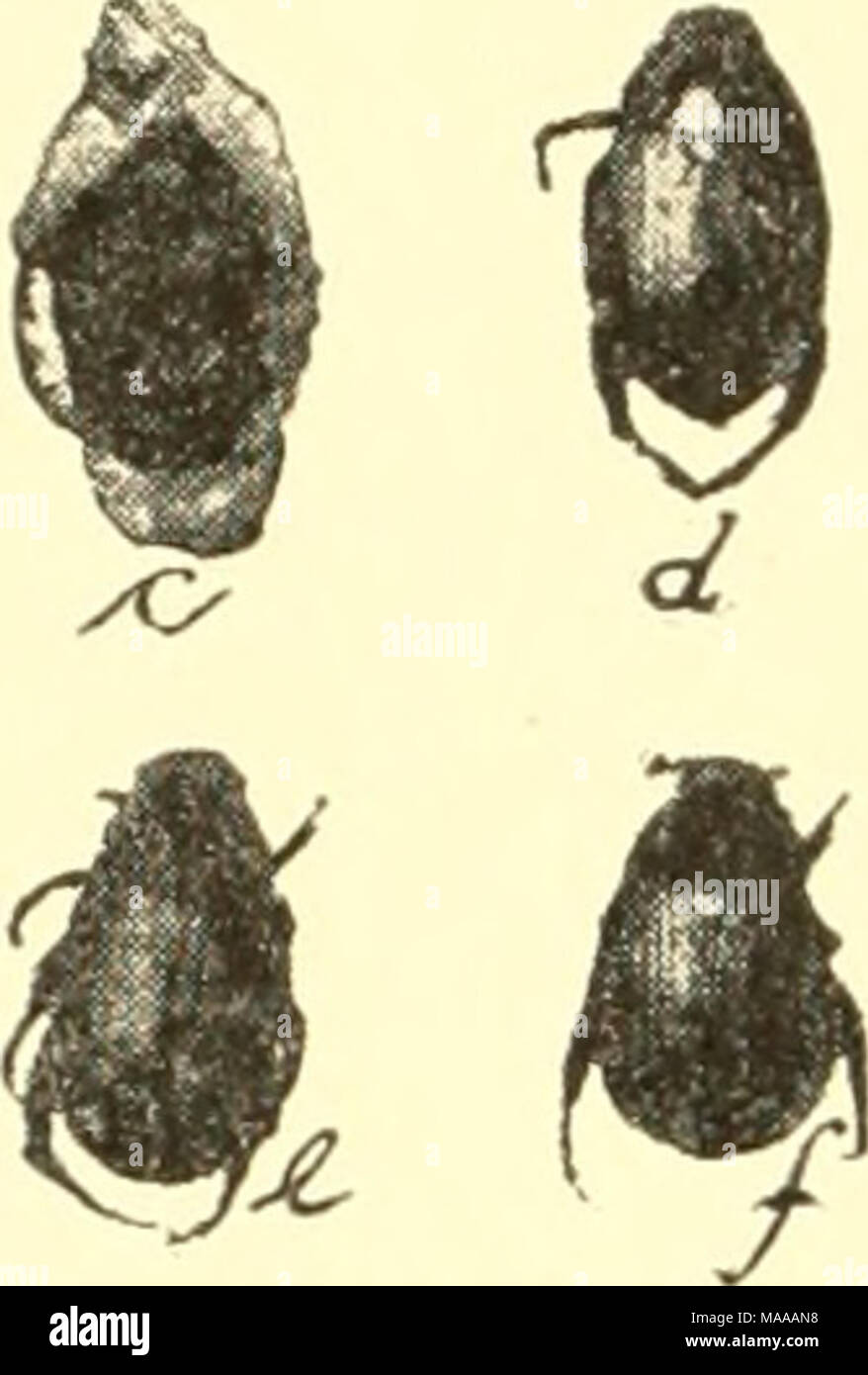 . Economic entomology for the farmer and the fruit grower, and for use as a text-book in agricultural schools and colleges; . Anomala lucicola.— a, b, larva ; c, pupa in larval skin ; </, e,f, adult beetles. - Stock Image