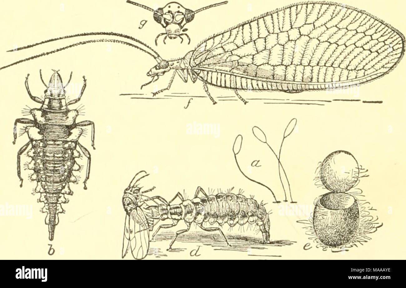 . Economic entomology for the farmer and the fruit grower, and for use as a text-book in agricultural schools and colleges; . A lace-wiiiged fly, Chrysopa oculala.—a, tlie eggs; b, the larva ; d, same, feeding on ti pear-psylla ; e, cocoon, from which /', the adult, has escaped ; s, head of adult in front, enlarged. The entire life history of the insects is interesting. The female in ovipositing touches the end of the ab'domen to the surface,— usually a leaf,—upon which the eggs are to be laid, and then elevates her body about a quarter of an inch, emitting at the same time a viscid thread whi - Stock Image