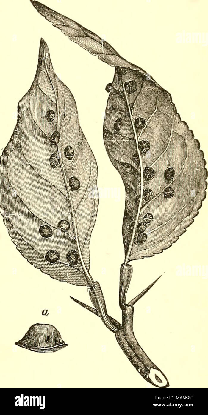 . Economic entomology for the farmer and fruit-grower [microform] : and for use as a text-book in agricultural schools and colleges . Lecayihun heinisphericum, on orange-leaves, nat- ural size ; a, female scale, enlarged. - Stock Image