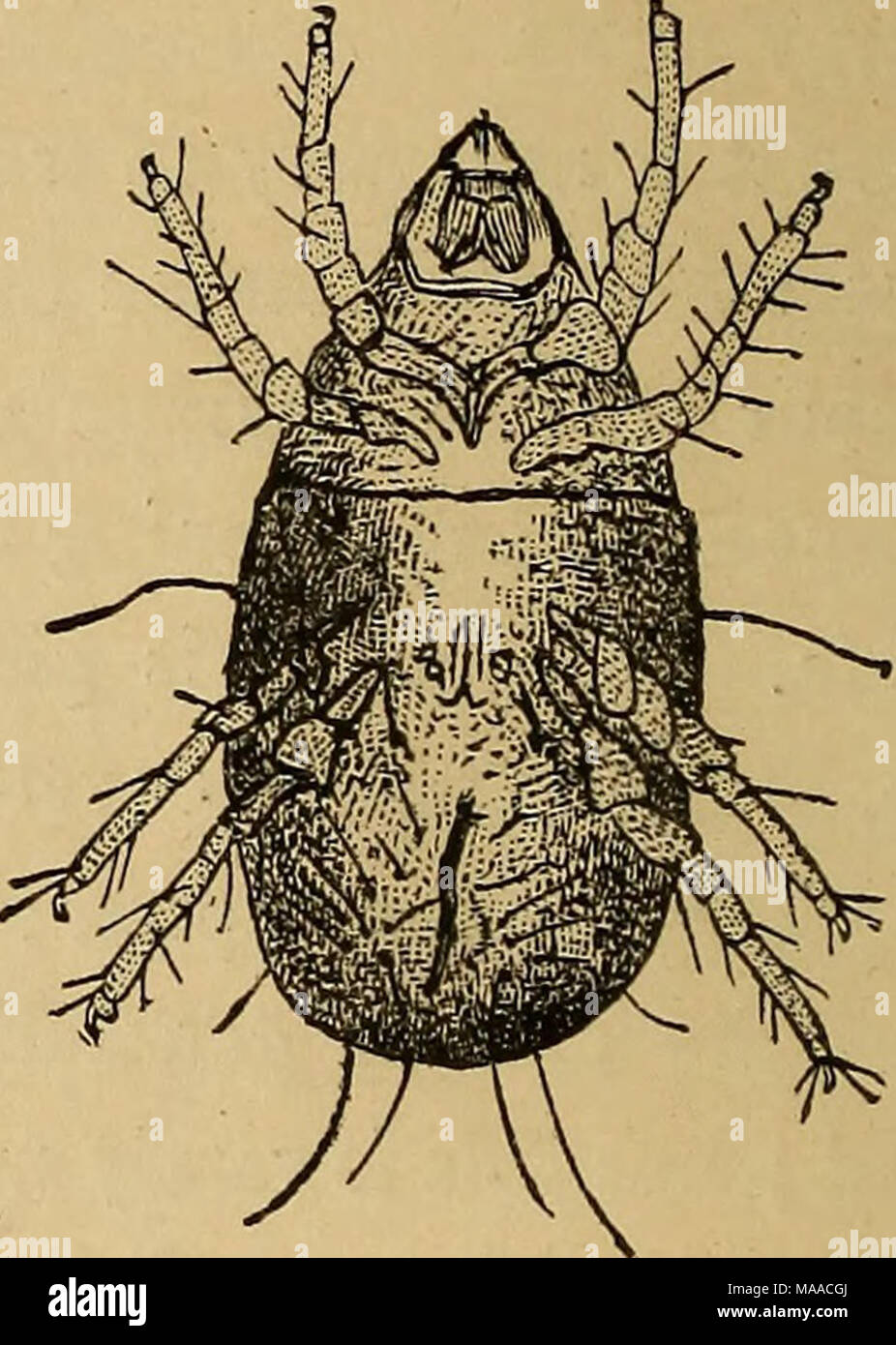 . Economic entomology . Tryoglyphus siro, slightly magnified Ditto, more highly magnified. Copied from Robins' figure. It is unnecessary to give any description of the mite. The small figure will give a fair idea of its general aspect, and the larger one will supply the place of a description. As to its habits and mode of life, there is little to add to what every one knows. It lives in almost every kind of cheese when a little decayed, and especially the harder parts. The individuals gather together in winter in groups or heaps in the hollows and chinks of the cheese and there remain motionle Stock Photo