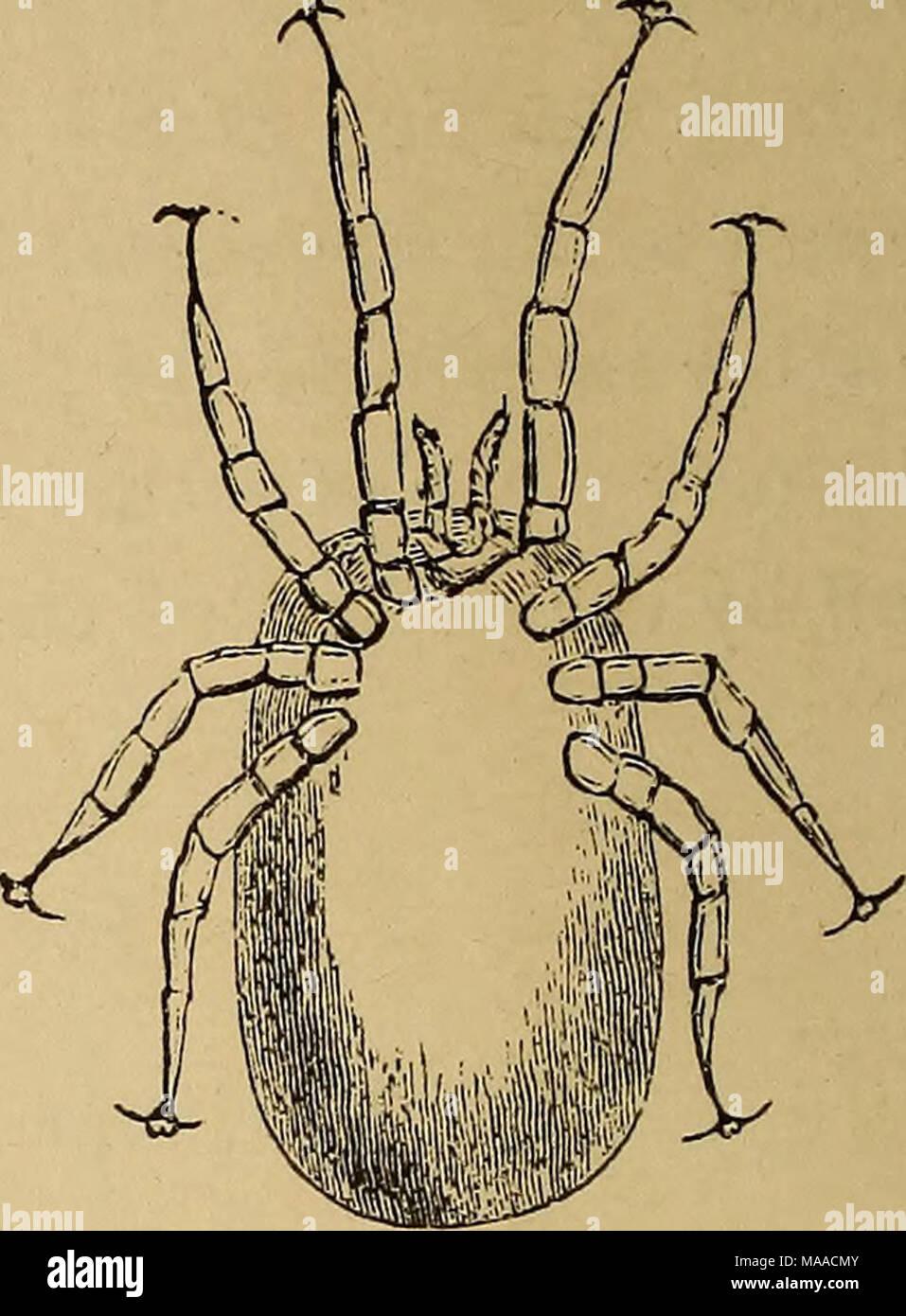 Economic entomology   Dermanyssus avium, full fed (upper