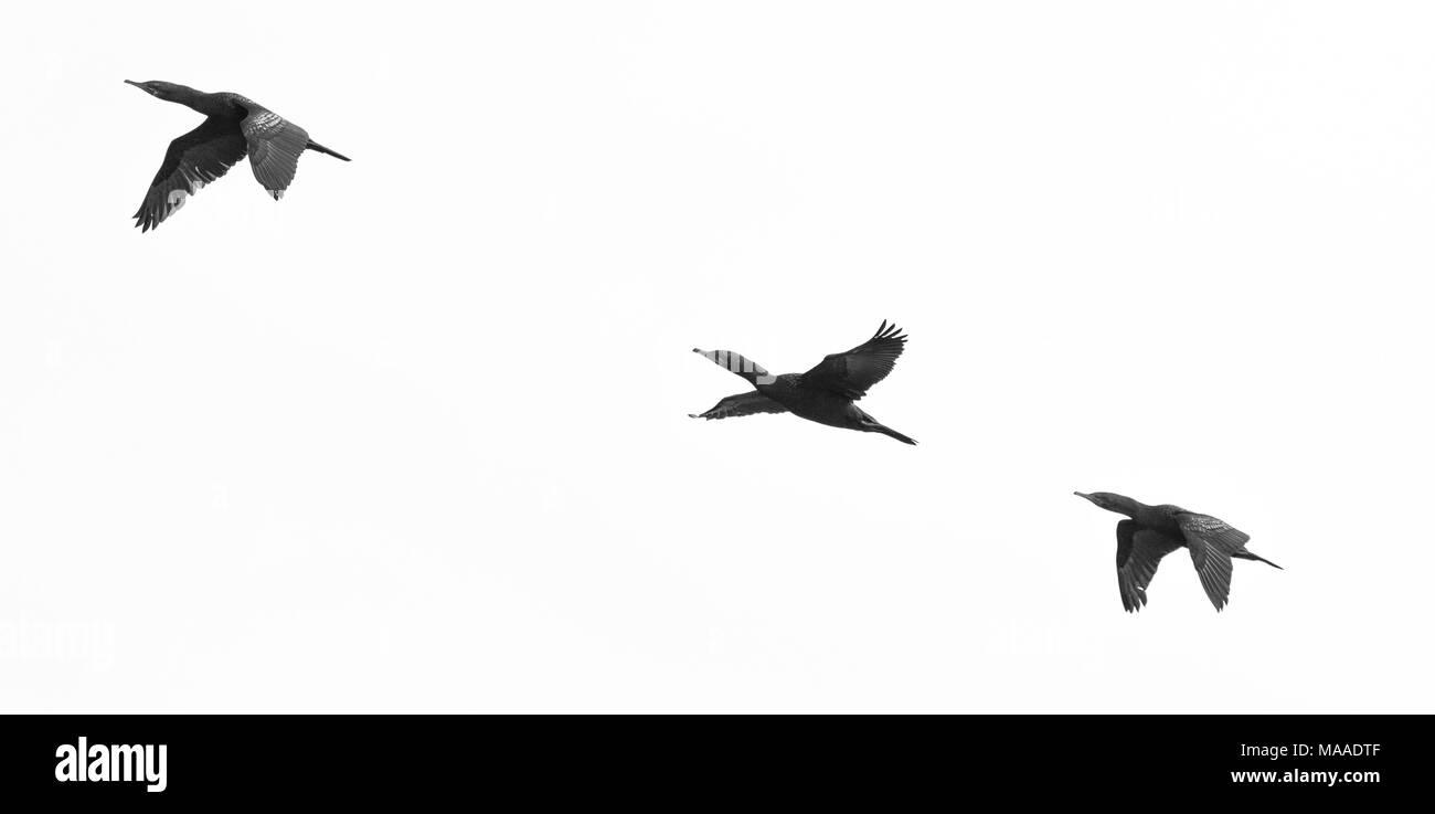 Little Black Cormorant, Phalacrocorax sulcirostris - Stock Image