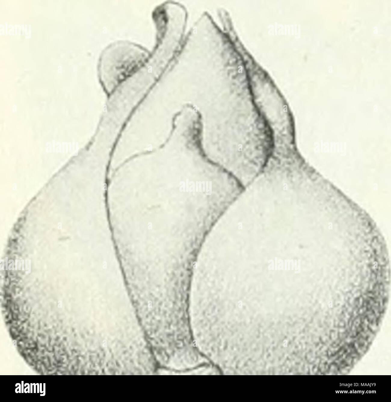 . Dr. K.W. van Gorkom's Oost-Indische cultures. Opnieuw uitg. onder redactie van H.C. Prinsen Geerligs. [Door J.P. van der Stock et al.] . Shorea aptera Burck, (ware grootte). ') Beide soorten groeien in :s Lands Plantentuin uitstekend ; zij staan daar juist op het hoogste punt van den tuin. In den Cultuurtuin te Tjikeumeuh leverden 6-jarige Isoptera's reeds vrucht. - Stock Image