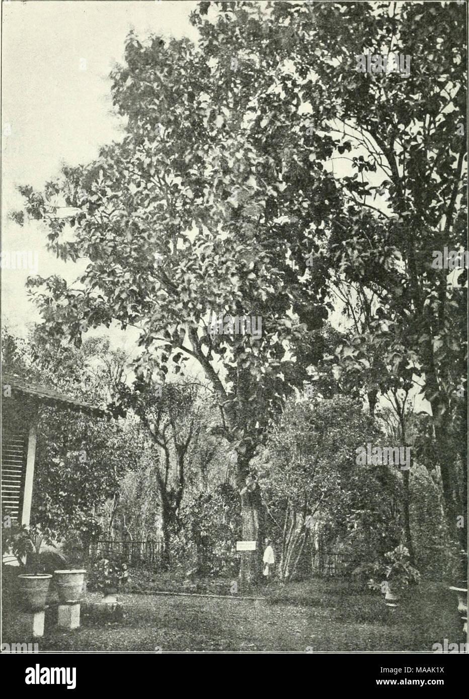 . Dr. K.W. van Gorkom's Oost-Indische cultures. Opnieuw uitg. onder redactie van H.C. Prinsen Geerligs. [Door J.P. van der Stock et al.] . Fig. 259. Djatiboom staande in 's Lands Plantentuin te Buitenzorg. - Stock Image