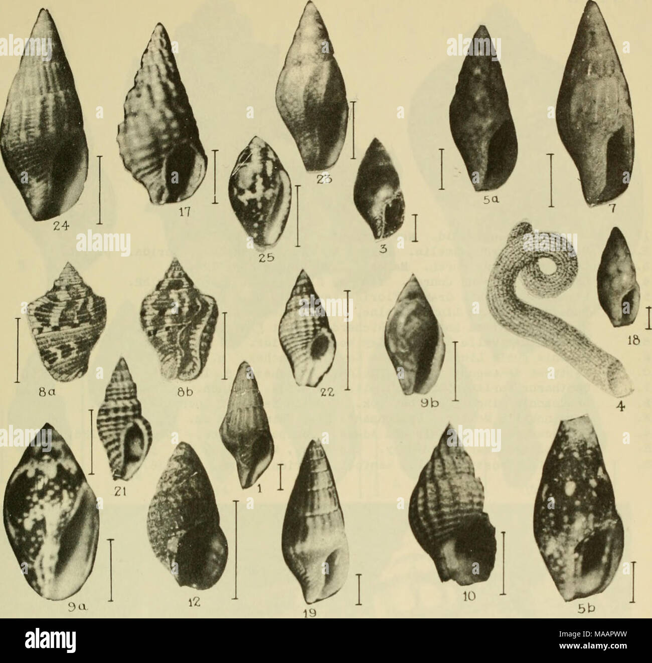 . East coast marine shells : descriptions of shore mollusks together with many living below tide mark, from Maine to Texas inclusive, especially Florida, with more than one thousand drawings and photographs . ^^â F^H ^^F'V ^P^VHi ^^^^^^^F* ^^^^1 ^^v'^ ^r ^^^^l Eta ' 'j^^wf ^^^^^^^^^^^v^ ^^^KnUaHlil^^HHH - Stock Image