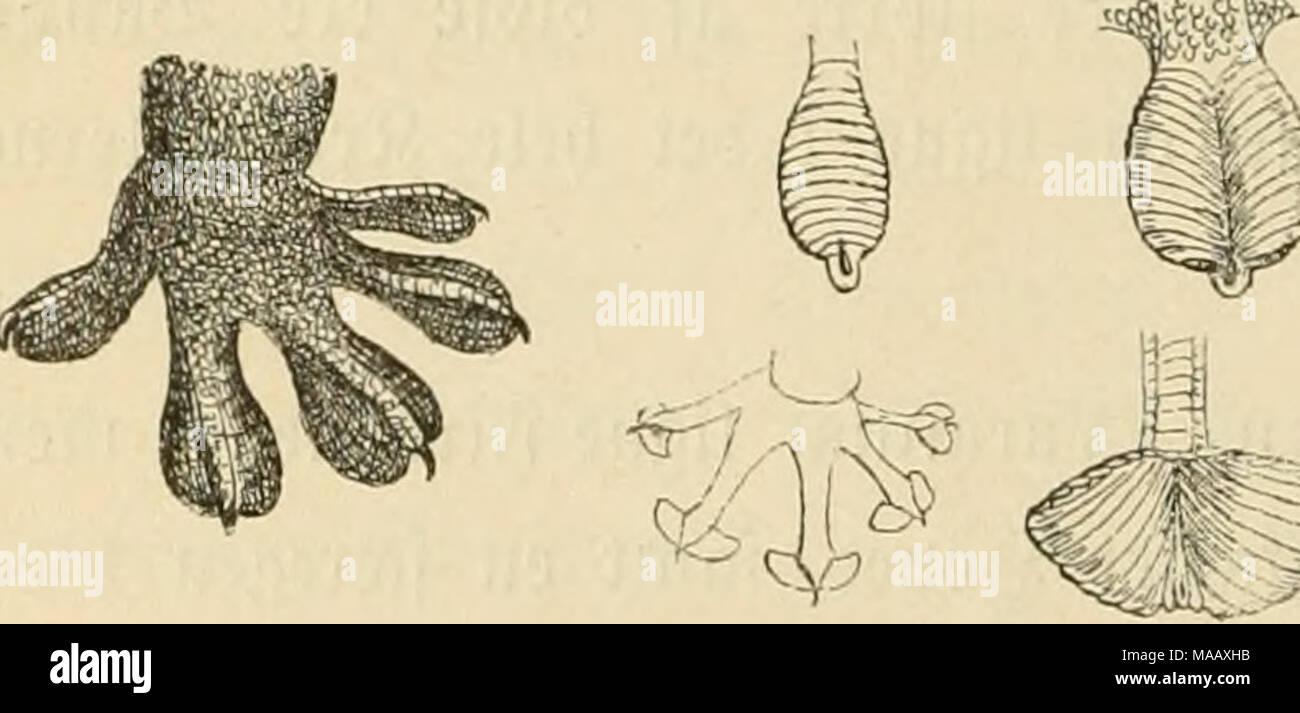 . Dyreriget : (Laerebog i zoologien, nr. 1) . gig. 219. ^eftebtabe etler ©ugeffitoer, »eb ^»i§ ^jælp be funne Uhe l^urtigt op ab (obrette eller enbog ^en uiiber banbrette ^^laber. !©ere§ ^-arcer ere [om ofteft graalige eller brunlige og bereé Ub* feenbe ofte hæsligt; bet er ;^ hurtige, li^gffl? ©^r, ber op^olbe fig t ^ule S^ræer, ^iælbere, troge o. f. o., ^oor be ifær om Siftenen jage efter @bberfo|3|3er og anbre ©maab^r. 5)e ere talrige i alle oarme33erbené= bele; ogfaa i ©i^b*@uropa finbeé nogle Sirter. !Cet er be enefte S5gter, ber oibeé at ^aoe ©temme, og beres ^aton i)ax fin Op* rinbelfe  - Stock Image