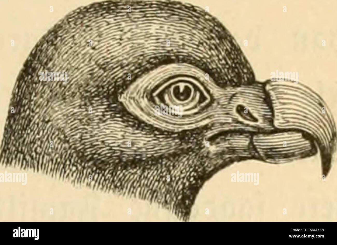 . Dyreriget : (Laerebog i zoologien, nr. 1) . ©uefugtene. 183 ben tamme Jurtclbue (C. turtur) l^ar o)3rinbctig hjemme t ^fien. 3i 9?orb = ^merifa finbeS SBanbrcbuen (C. migratorla), ber er berømt for be ©treiftog, fom ben foretager i ul^^re ^^loffe til be @gne, ^oor (Sgen og 33øgen bære mange frugter. 3tort)buerne (Gura) ^aoe fortere 53inger og fraftigere ?^øbbcr og o^t)oIbe fig mere paa 3orben, ^»or be ogfaa i ^ttmtnbcltgljeb ruge. '^aa en 0 i bet ftiUe $at) finbeg en liUe Sorbbue (l)idun- culus), fom tetoer af ^notbe og Søg og l^ar et ganffe tignenbe ftcerft og froget 9?æb fom3)ronten (Didus - Stock Image