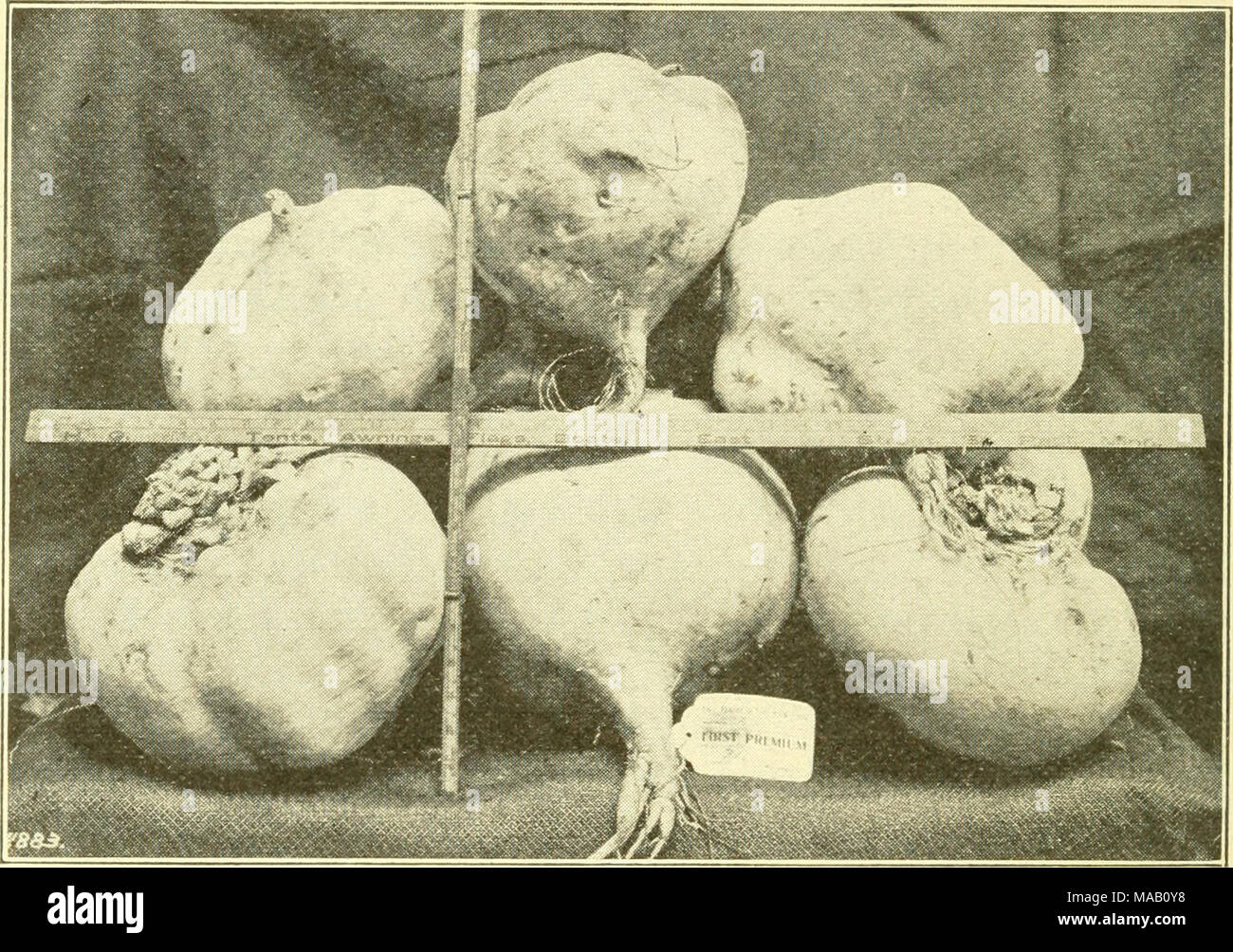 . Dry land farming . DRY LAND TURNIPS, FLATHEAD COUNTY, MONTANA. Courtesy Great Northern Railw'ay Co. the part above the bulb and then the stalk below the bulb with a strong and sharp hoe. All these may be stored in ventilated cellars or in pits. When storing them in pits the same process ma}' be followed as in pitting potatoes (see p. 296). In some instances mangels are harvested by swine, the portions left in the ground being raised for them by the plow or by a hand implement. Rutabagas, turnips and kohlrabi - Stock Image
