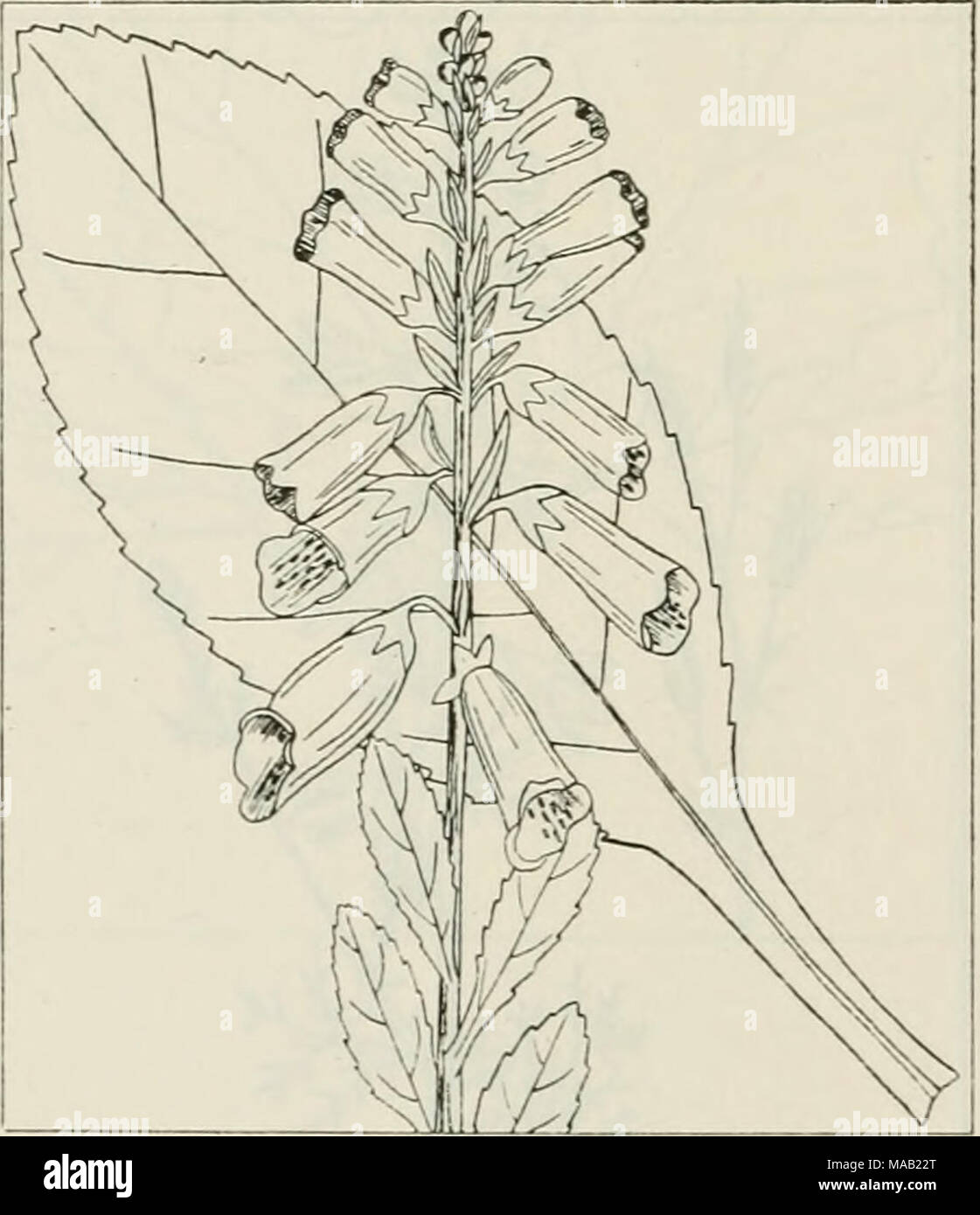 . The drug plants of Illinois . DIGITALIS PURPUREA L. Digi- talis, foxglove. Scrophulariaceae. U. S. P. XL pp. 136,131, 397, 485. Leaves collected from the second year's growth. Grown in gardens throughout the state; not known to have become estab- lished as an escape. Contains several glucosides, among which digitoxin, digitalin, and digitonin are the most active. Of great use as a stimulant in treating heart disorders. i - Stock Image