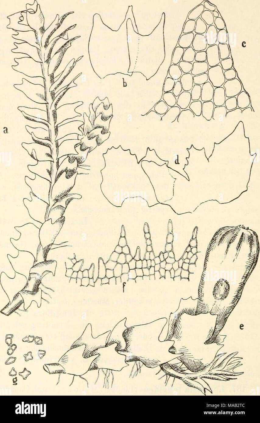 . Dr. L. Rabenhorst's Kryptogamen-Flora von Deutschland, Oesterreich und der Schweiz . &^ Fig. 308. Lophozia longidens. a Stück einer sterilen Pflanze, Vergr. '^Vi; ^^ einzelne Blätter ausgebreitet, Vergr.^o/, ; c Zellnetz eines Blattzipfels, Vergr. ^oo/^ ; d 9 Hüllblätter ausgebreitet, Vergr. ^o/j; e Perianth tragendes Stengelstück, Vergr. ^w ; f Stück der Perianthmündung, Vergr. g Gemmen, Vergr. ^^^/i - Stock Image