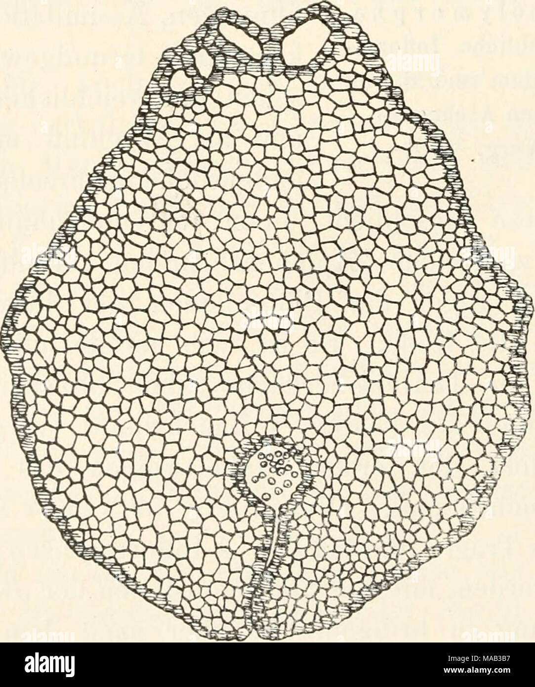 . Dr. L. Rabenhorst's Kryptogamen-Flora von Deutschland, Oesterreich und der Schweiz . Fig. .58. R e b 0 u 1 i a h e m i s p h a e r i c a. Querschnitt durch einen Inflorescenzträger mit einer Bauchrinne. Verj - Stock Image