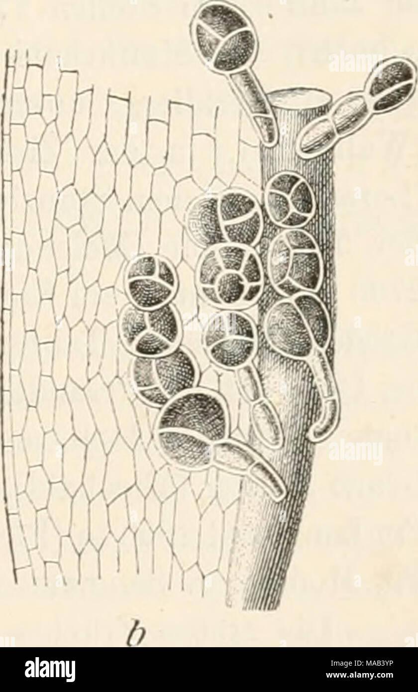 . Dr. L. Rabenhorst's Kryptogamen-Flora von Deutschland, Oesterreich und der Schweiz . Grimmia torquata (Hornsch.). a Laub- blatt 3-0, b Blattgrund mit Brutkörpern A|A. - Stock Image