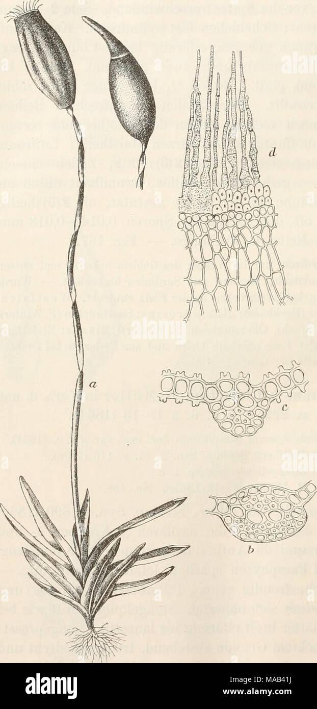 . Dr. L. Rabenhorst's Kryptogamen-Flora von Deutschland, Oesterreich und der Schweiz . Trichostomum pallidisetum H. Müll, a Hahitusbild '2-*, b Querschnitt durch die unteren J-|o. und c oberen A| 1 Theil der Blattrippe, d Peristom 1^^. Blattrippe biconvex, 4 mediane Deuter, 2 Stereidenbänder (das obere kleiner), Begleiter fehlend, Aussenzellen papil- lös. Blattzellen unten rectangulär und hya- lin, die übrigen qua- dratisch und 6 seitig (0,007-0,010 mm), mit zahlreichen rund- lichen Papillen. Peri- chätialblätter kürzer, eilanzettlich, fast ^j^- scheidig, flachrandig, Kippe weit vor der abgeru - Stock Image