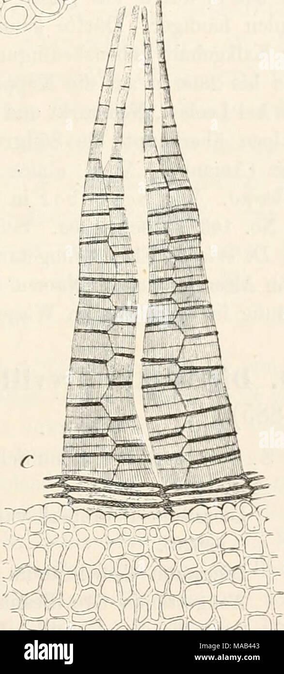 . Dr. L. Rabenhorst's Kryptogamen-Flora von Deutschland, Oesterreich und der Schweiz . -,. OrfO, incrptrM^ Dicranella Schrcberi (Hedw.). a Habitusbikl '-O, b Querschnitt durch die Blattrippe ±0^, c Peristomzähue und Zollnetz des Exotheciums 1^^. - Stock Image