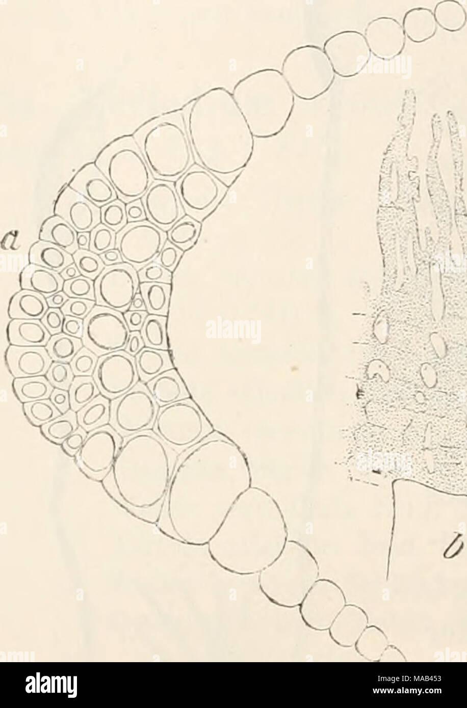 . Dr. L. Rabenhorst's Kryptogamen-Flora von Deutschland, Oesterreich und der Schweiz . Eiicladiura verticillatum iL.), a Querschnitt durch den hasilaren Theil der Blattrippe (i|l), b Peristomzähne (^f^). kleiner, hexagonal und quadratisch. Haube etwa ^/g der Urne be- deckend, kappenförmig. — Fig. 100, 101. — Sporen 0,010—0,014 mm, bleichgelb, glatt; Reife im Sommer. Yar. ß aiig'ustifoliiim Jur. Laubmfl. v. Oesterr.-Ung. p. 17 (1882). Rasen nicht kalkig, dunkel bräunlich-grün, unten braun. Obere Blätter lineal-lanzettlich pfriemenförmig, Rippe als lange Stachel- spitze austretend; Zellen grösse - Stock Image