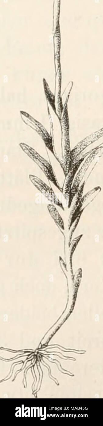 . Dr. L. Rabenhorst's Kryptogamen-Flora von Deutschland, Oesterreich und der Schweiz . ^ a Gymnostomum calcareum Bryol. germ. a. Habitusbild, b. Haube.  19. Gattung: Oyroweisia Schimp. 8yn. 2. ed. p. 38 (1876). Synonyme: Gjmnostomum Subg. Gymnoweisia Bryol. eur. fasc. 33/36 (1846) et Schimp. Syn. 1 od. p. 37 (1860). Weisiopsis Bryol. eur. Vol. I t. 28. (1846.) Weisiodon Schimp. CoroU. (185(0. Weisia Subg. Gyroweisia Schimp. Syn. 1. ed. p. 49 (18601 - Stock Image