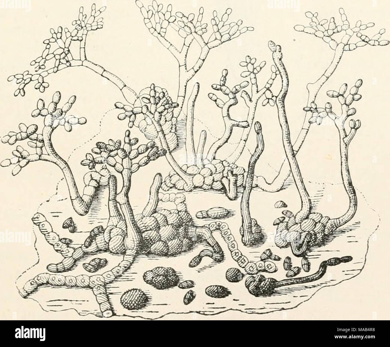 . Dr. L. Rabenhorst's Kryptogamen-Flora von Deutschland, Oesterreich und der Schweiz . Fumago vagans Pers. Konidienträger in verschiedenen Stadien, stark vergr. (Nach Tulasne.) - Stock Image
