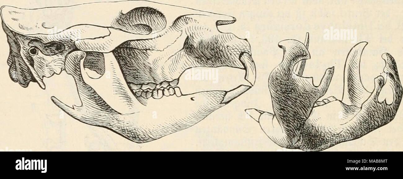 """. Dr. Johannes Leunis Synopsis der thierkunde. Ein handbuch für höhere lehranstalten und für alle, welche sich wissenschaftlich mit der naturgeschichte der thiere beschäftigen wollen . m- 225. (S^ätct bc^ a33oni6at, Phascolömys wombat. m- 226. Untevtiefev tcö 2Bcmbat, Phasco- lömys wombat, ft^icf """"oon Itinten gefe^en, itm bie für bic 23eutcl= t^icrc (f)araftcriftifc^c Giitlrärt^s biegiiiig bC'? Untcrficfenrintcl? ju jeigen. 1. Pliascoldinys'Geoffr. äßontbaf''. ^Diit ben ÜWerfmaten ber ?5antilie. 2)ic Slrten leben in bergigen unb ebenen aUalbgcgenbcn; graben fi(^ §iöl}Ien; finb nä^tlic^e S - Stock Image"""