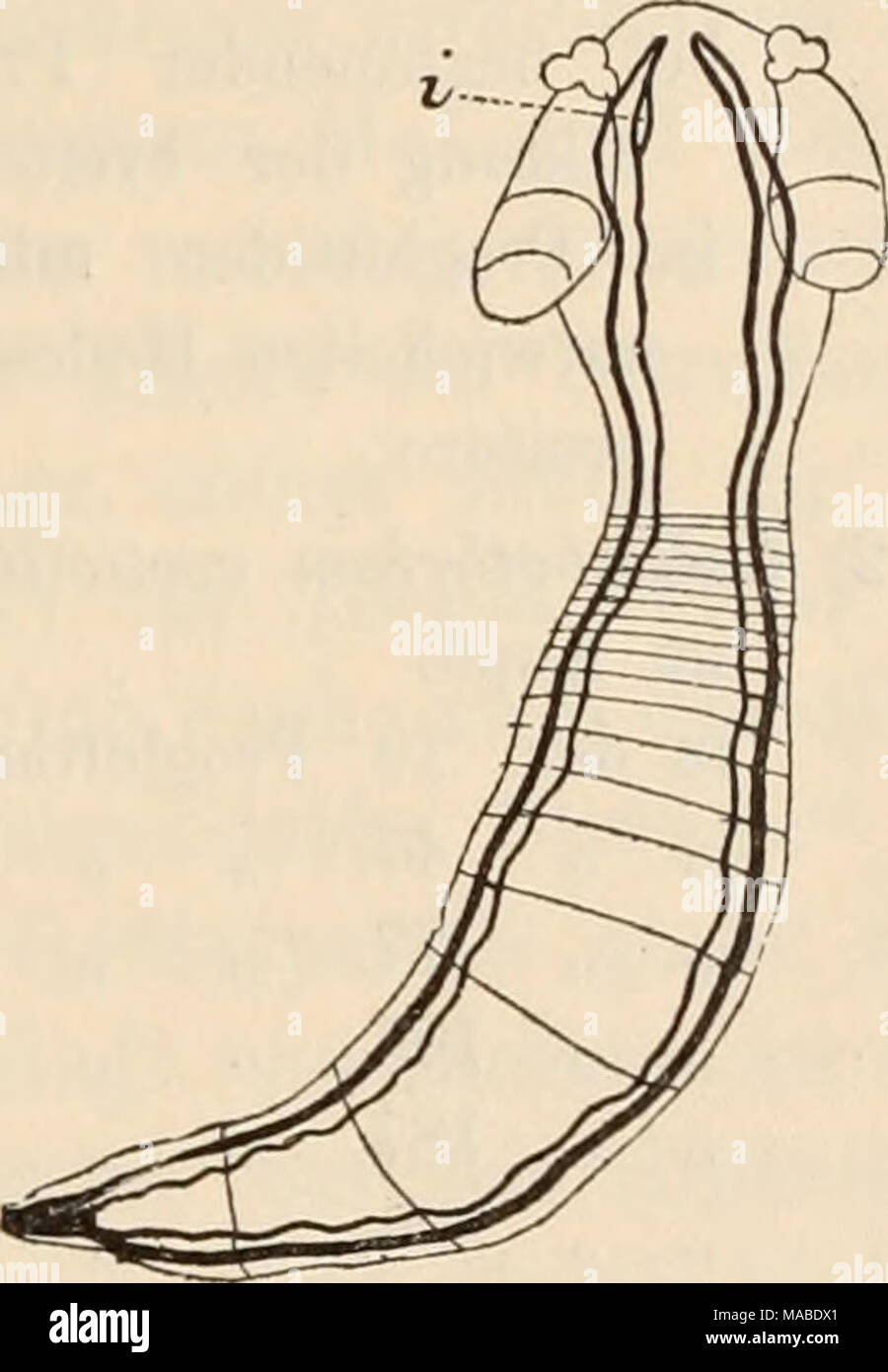 . Dr. H.G. Bronn's Klassen und Ordnungen des Thier-Reichs : wissenschaftlich dargestellt in Wort und Bild . AcanÃiobothrium coronatum Ben. im Jugendzustande - Stock Image
