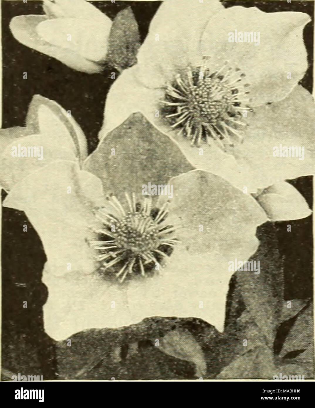 Dreer's wholesale price list for florists   Helleborus