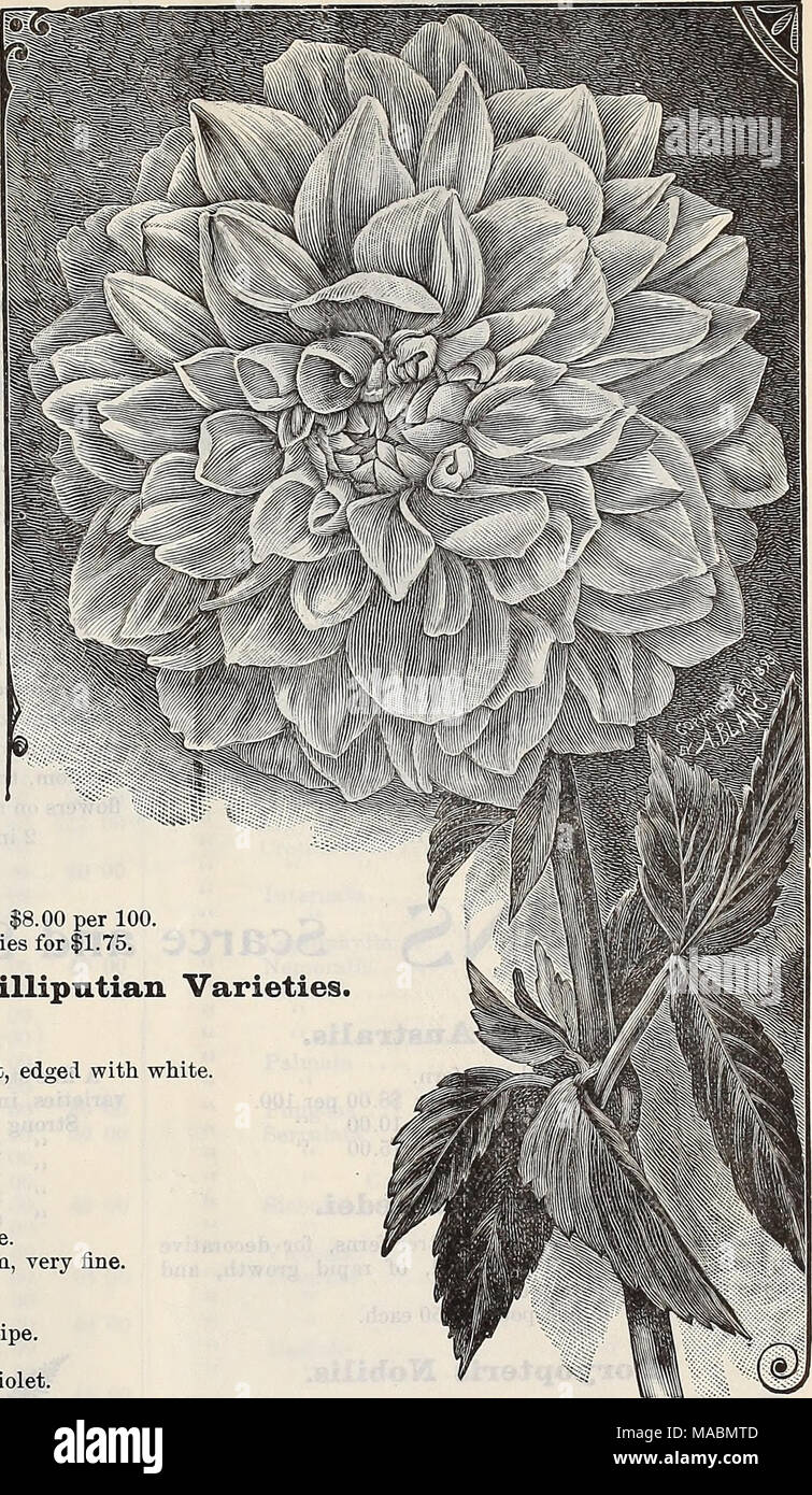 White tipped dahlia stock photos white tipped dahlia stock images dreers quarterly wholesale price list seeds plants bulbs tools fertilizers sundries ampc izmirmasajfo