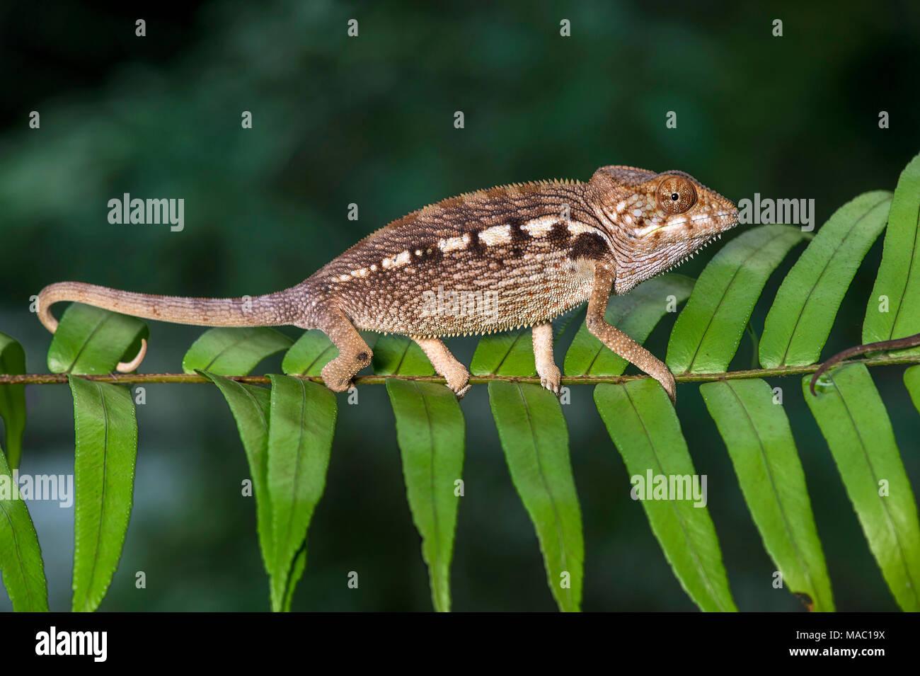 Panther chameleon (Furcifer pardalis), (Chameleonidae), endemic to Madagascar, Ankanin Ny Nofy, Madagascar - Stock Image