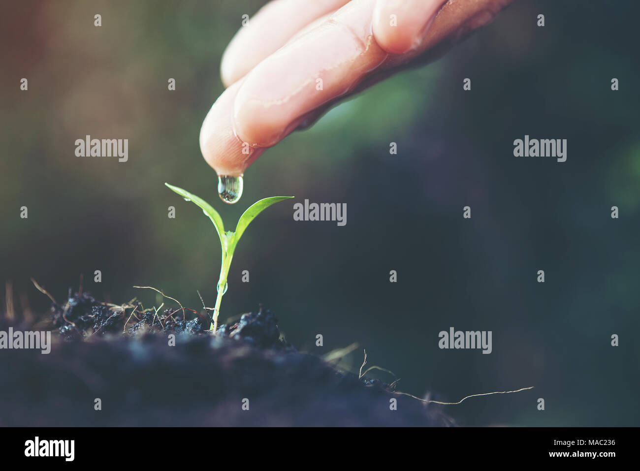 close up woman hand watering a green young plant - Stock Image