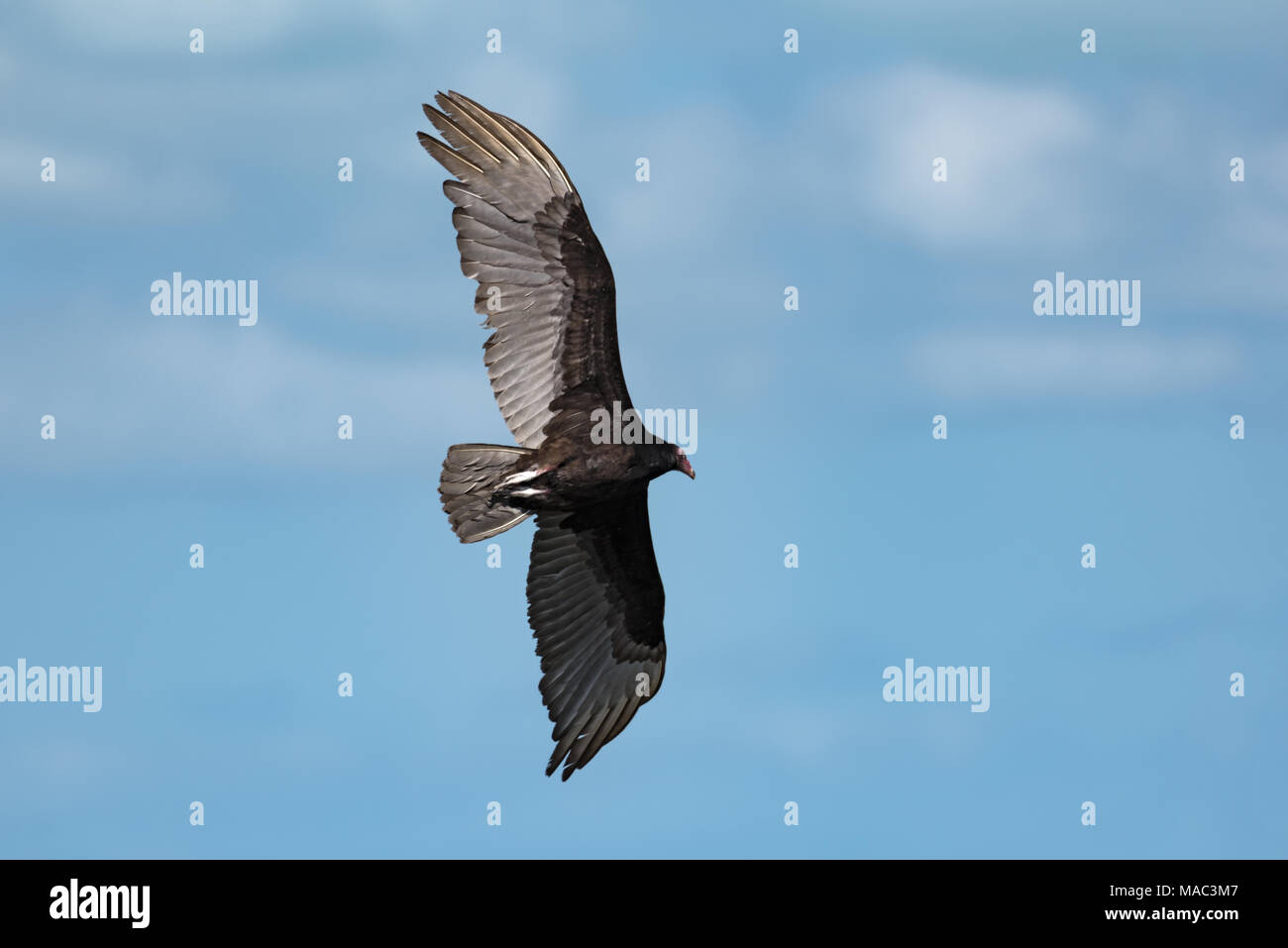 Turkey vulture (Cathartes aura) in flight over the Gulf of Mexico - Stock Image