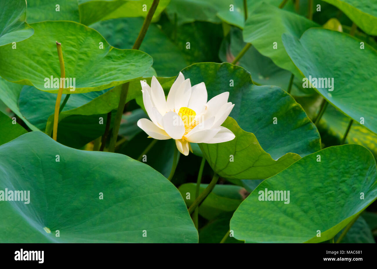 Lotus Flower China Stock Photo 178518593 Alamy