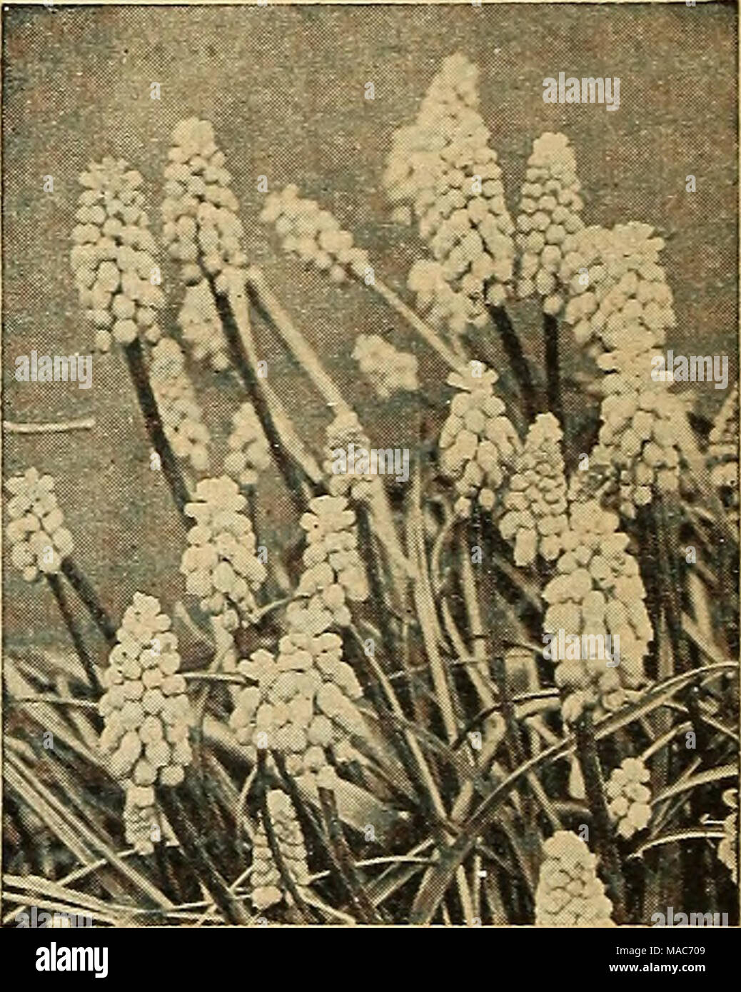 Dreers planting guide autumn 1944 muscari armeniacumgrape dreers planting guide autumn 1944 muscari armeniacumgrape hyacinth muscari grape hyacinth a o one of the prettiest of early spring flowering bulbs mightylinksfo