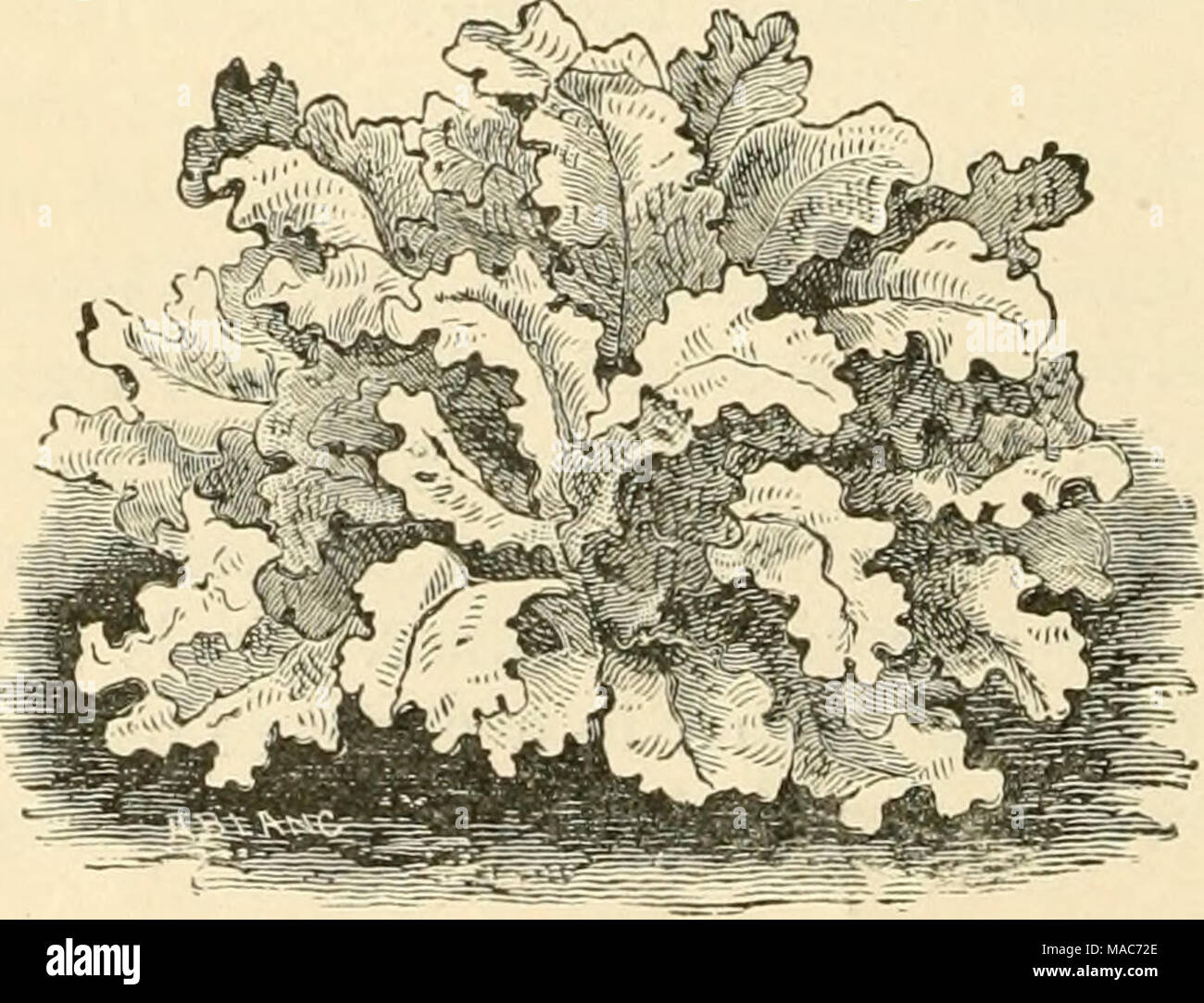 . Dreer's Open-air vegetables . Mustard is used as a salad. The leaves are cut and chopped up with Cress, It can be had all through the year, if desired. Sow in rows six inches or a foot apart, the seeds being scattered quite thickly- in the row. Repeat the sowings - Stock Image