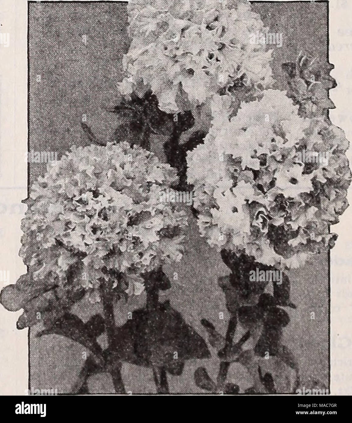 . Dreer's novelties and specialties 1939 : 101 years of Dreer quality seeds plants bulbs . Alldouble Dwarf V'ictorious Petunias 3401 Amaranth Red. An extra dwarf variety with alldouble flowers measur- ing 4 inches across. Grows 10 inches tall. Of bright amaranth red color. Pkt. 50c; 500 seeds S2.00. 3403 Carmine Queen {World Beauty). Exceedingly showy, luminous rosy red blooms. 10 inches tall. Pkt. 50c; 500 seeds S2.00. 3404 Daintiness. Charming apple- blossom pink flowers of exquisite double form. Bushy plants growing 12 inches taU. Pkt. 50c; 500 seeds S2.00. 3405 Gaiety. Combines car- mine-r - Stock Image