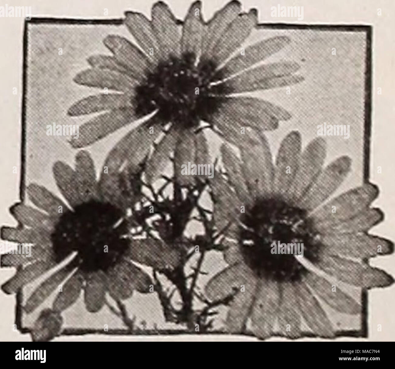 Dreers novelties and specialties for 1937 ursinia anethoides ursinia anethoides ursinia a a lovely south african annual with the popular name jewel of the veldt 4337 anethoides lovely daisy like flowers with izmirmasajfo