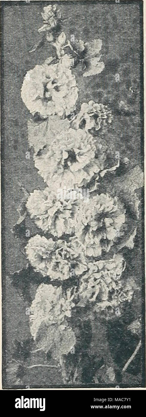 . Dreer's novelties and specialties 1934 . (a) = Annual (B) = Biennial |HHP| = Half-Hardy Peren- nial 11] = Hardy Perennial [fp] = Tender Perennial New Double Hollyhocks H] 2792 Imperator. A strik- ing departure from the type which arrests the attention of the be- holder. Bears flowers 5J to 6J inches across. The outer petals are broad, elegantly frilled, and deeply fringed. The center is a very double rosette, the whole sug- gesting a huge crested Begonia. The coloring consists of many charm- ing combinations, such as cerise-salmon with center of cream, delicate pink with center of rose, flus - Stock Image