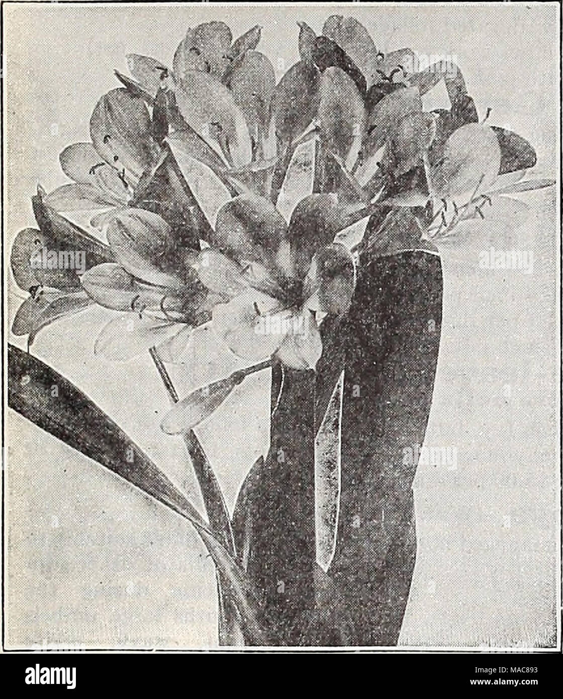 Dreer's midsummer list 1932   Clivia Miniata Beloperone