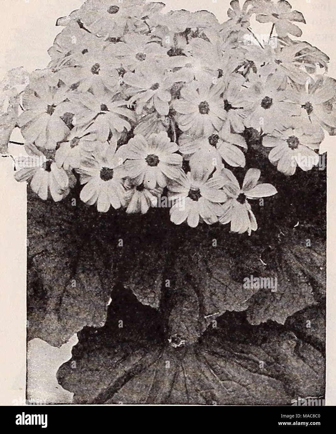 Dreers midsummer list 1932 dreers prize dwarf cineraria per a very pretty dwarf white leaved edging plant bearing small white flowers hardy perennial mightylinksfo