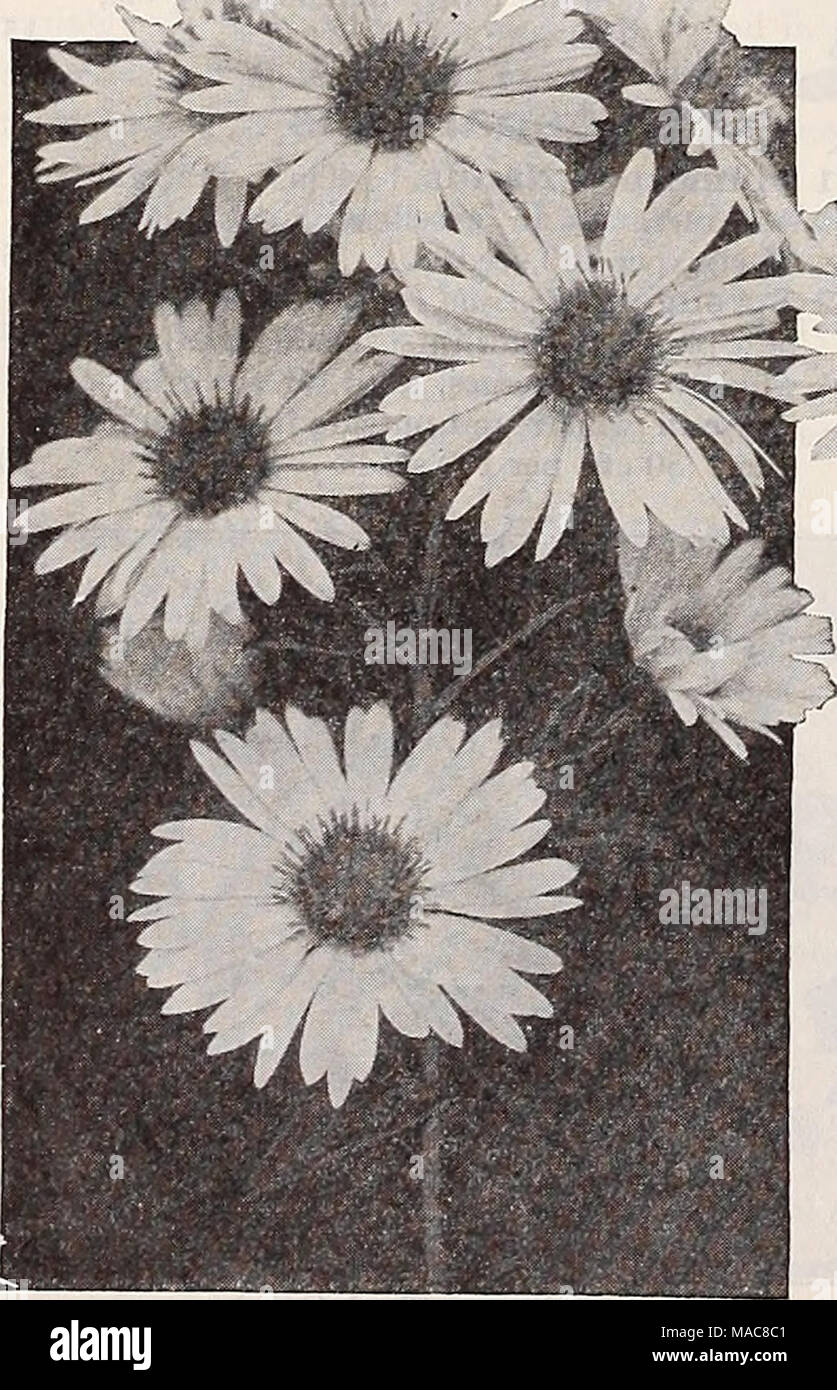 Dreers midsummer list 1932 hardy perennial asters three beautiful dreers midsummer list 1932 hardy perennial asters three beautiful snapdragons the sorts offered below belong to the grandiflora half dwarf section mightylinksfo