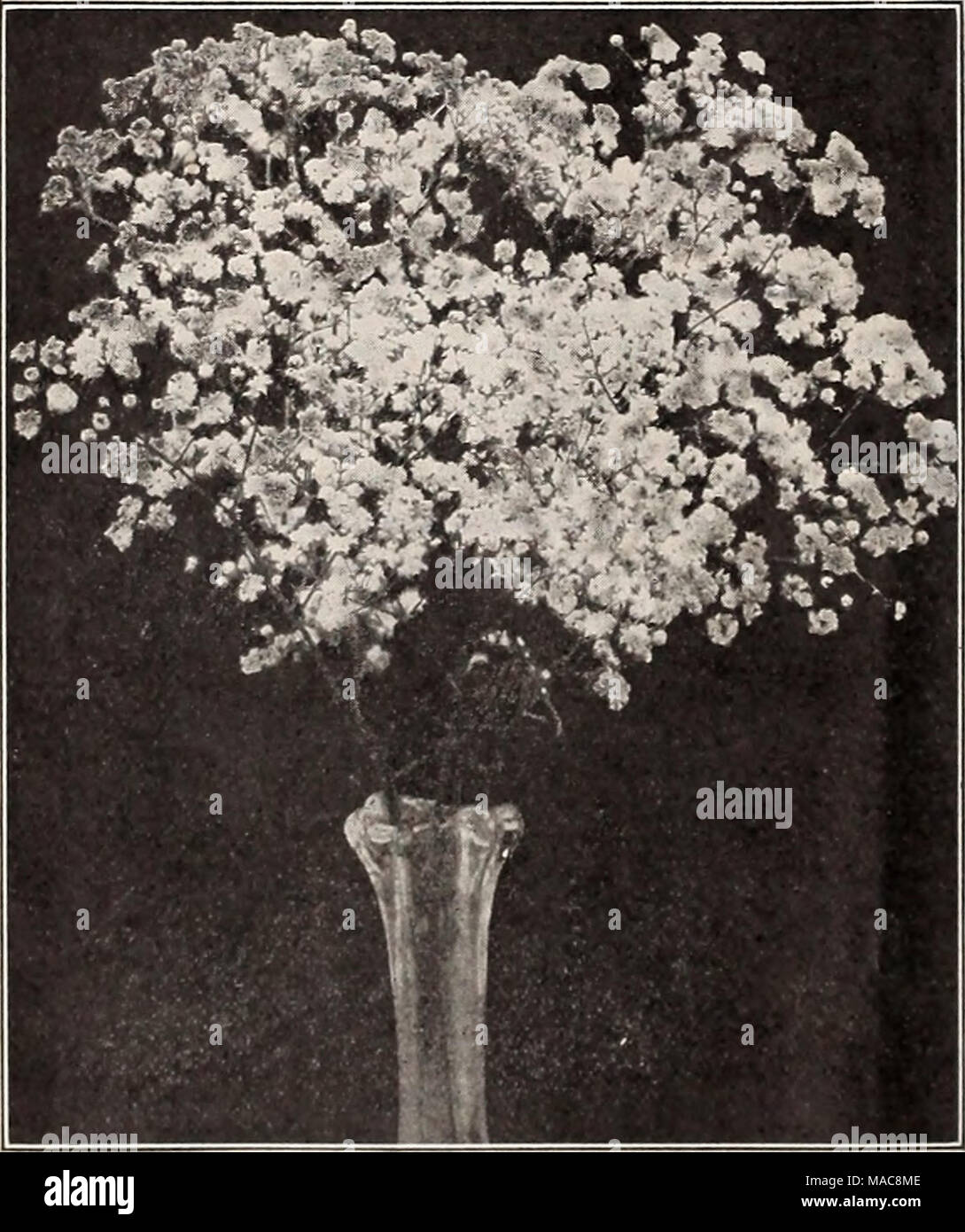 . Dreer's midsummer list 1929 . Double-flowering Gypsophila Gaill.rdl Gr-i^ndiflora GeUm (Avens) PER PKT. 2541 Atrosanguineum Fl. PI. Beautiful hardy peren- nial, bearing profusely large, showy double dark- crimson flowers all through the summer; an elegant flower for bouquets;'18 inches, j oz., 50 cts SO 10 2542 Mrs. Bradshaw. Large double brilliant orange scarlet; in flower throughout the entire summer 15 2543 Lady Stratheden. New double-flowering golden-yellow. 5 pkts., Sl.OO 25 Grevillea (suk oak) 2681 Robusta. A very beautiful and graceful deco- rative plant with fern-like foliage; exce Stock Photo